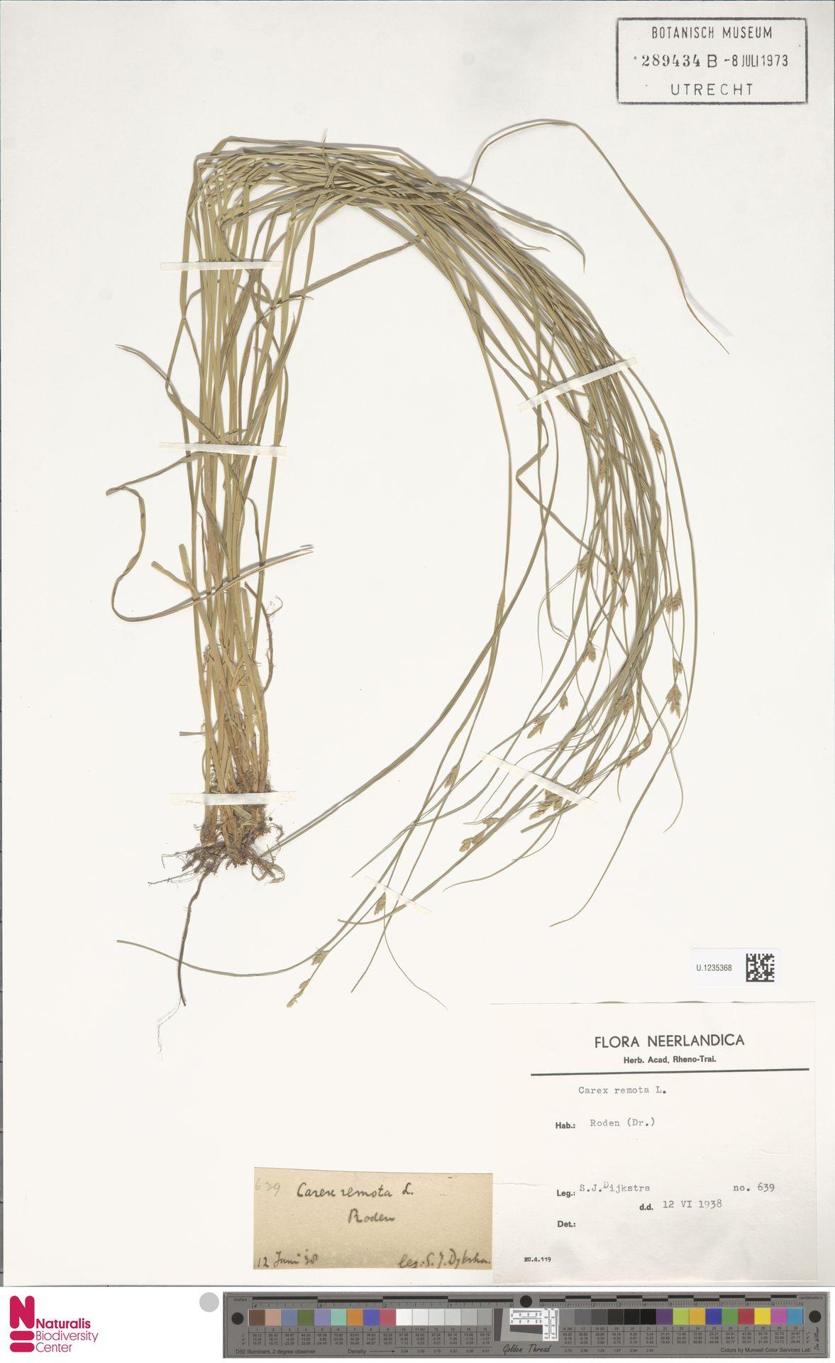 U.1235368 | Carex remota L.