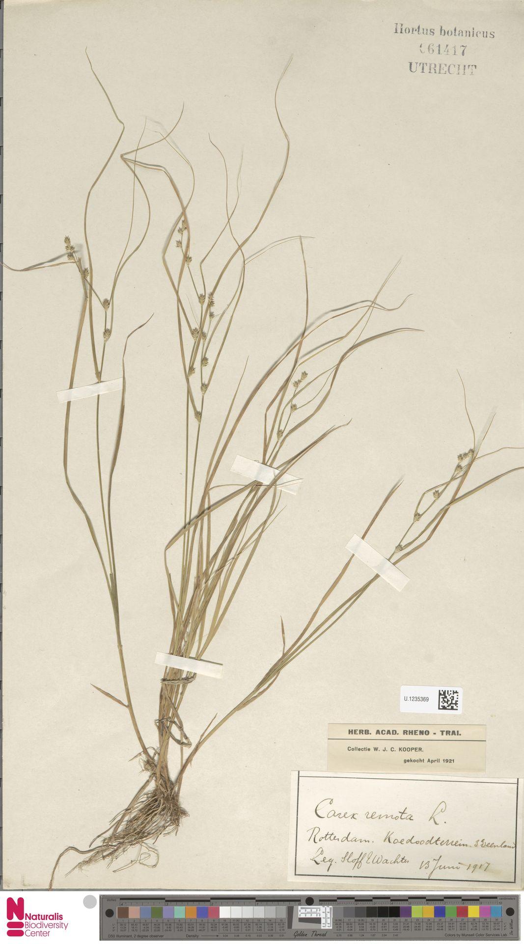 U.1235369   Carex remota L.