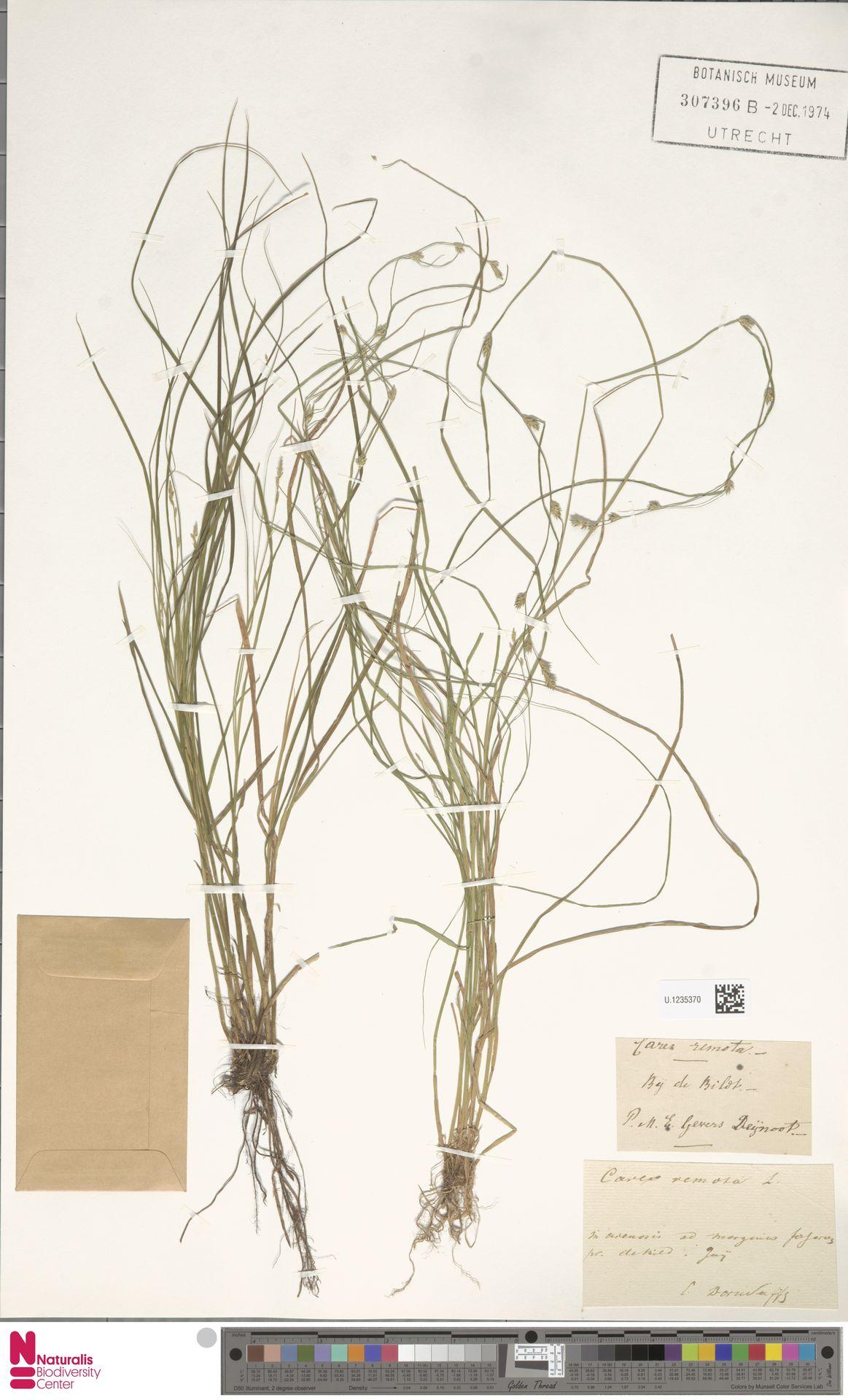 U.1235370 | Carex remota L.