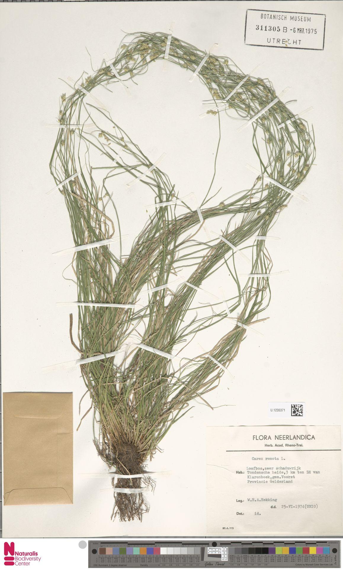 U.1235371 | Carex remota L.