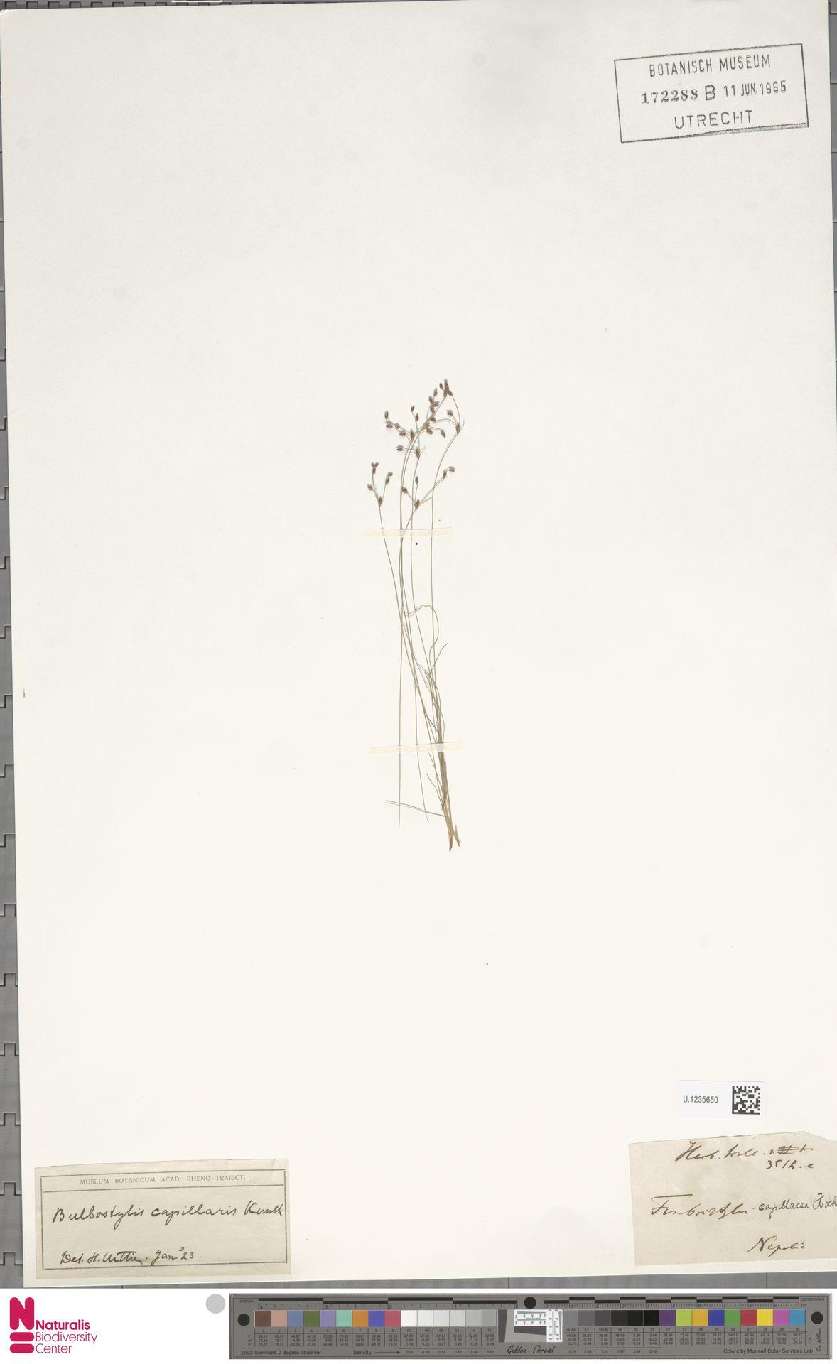 U.1235650 | Bulbostylis capillaris (L.) Kunth ex C.B.Clarke