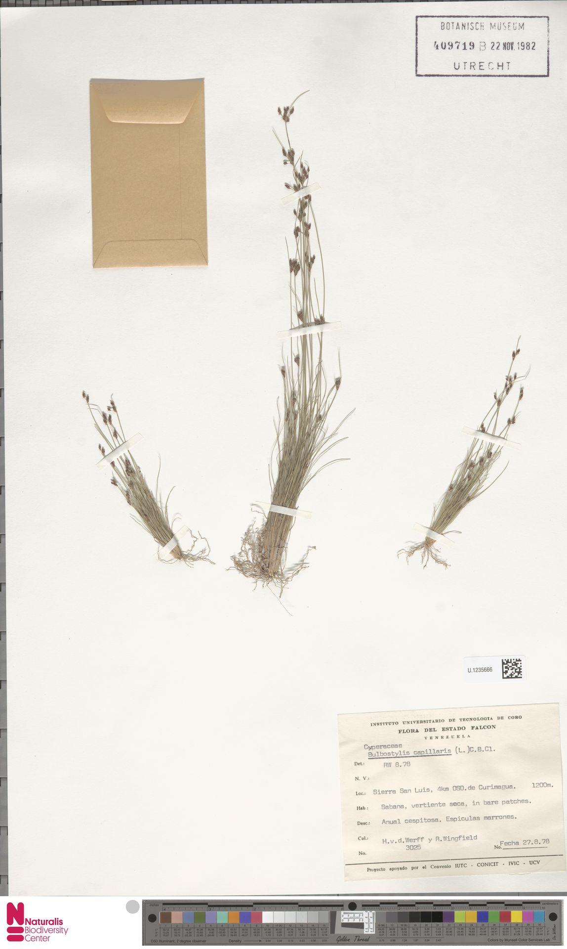 U.1235666 | Bulbostylis capillaris (L.) Kunth ex C.B.Clarke