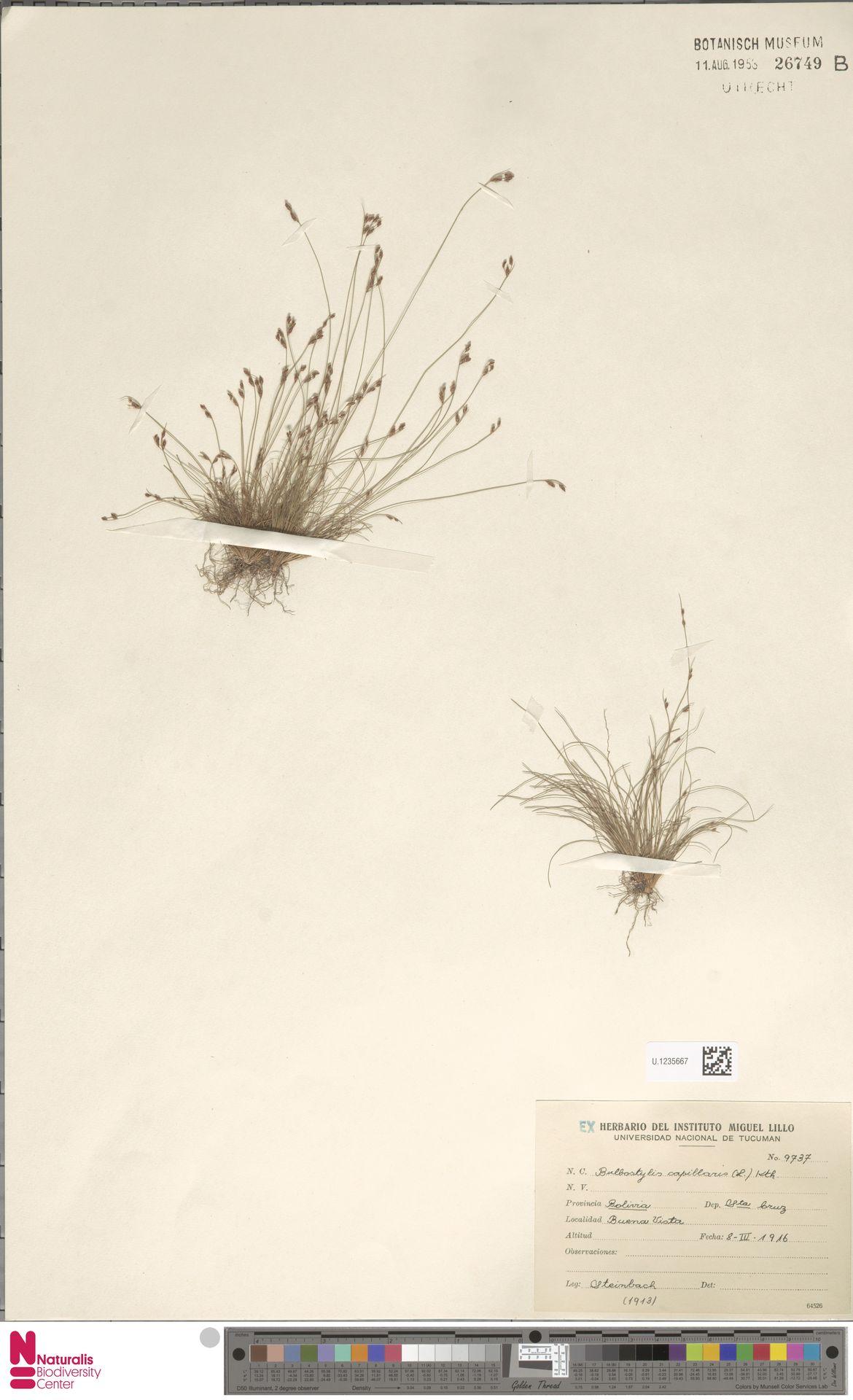 U.1235667 | Bulbostylis capillaris (L.) Kunth ex C.B.Clarke