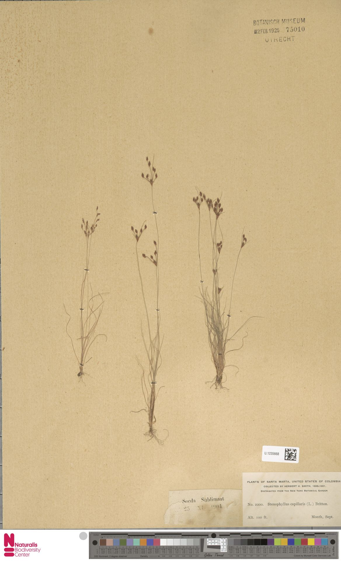 U.1235668 | Bulbostylis capillaris (L.) Kunth ex C.B.Clarke