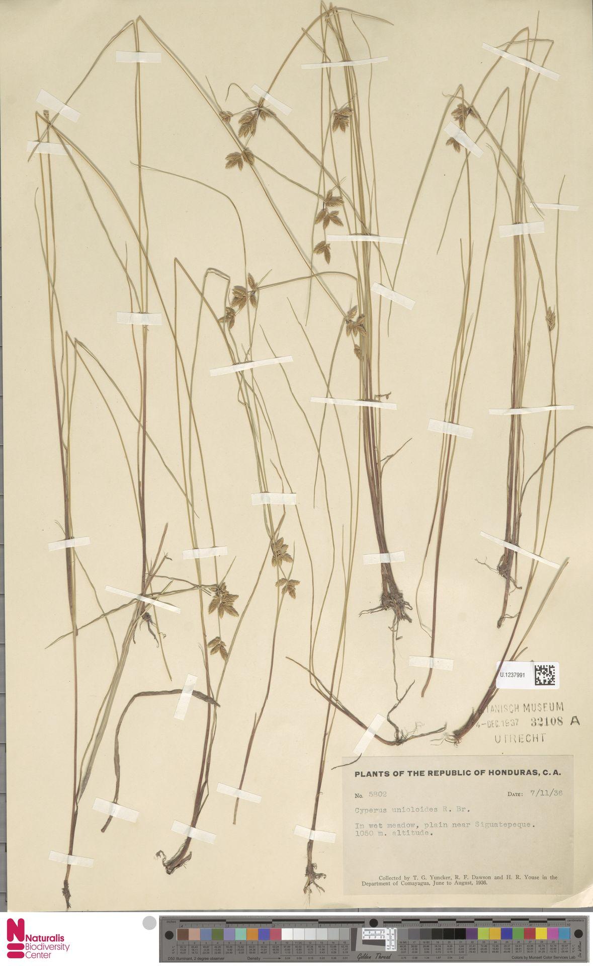 U.1237991 | Cyperus unioloides R.Br.
