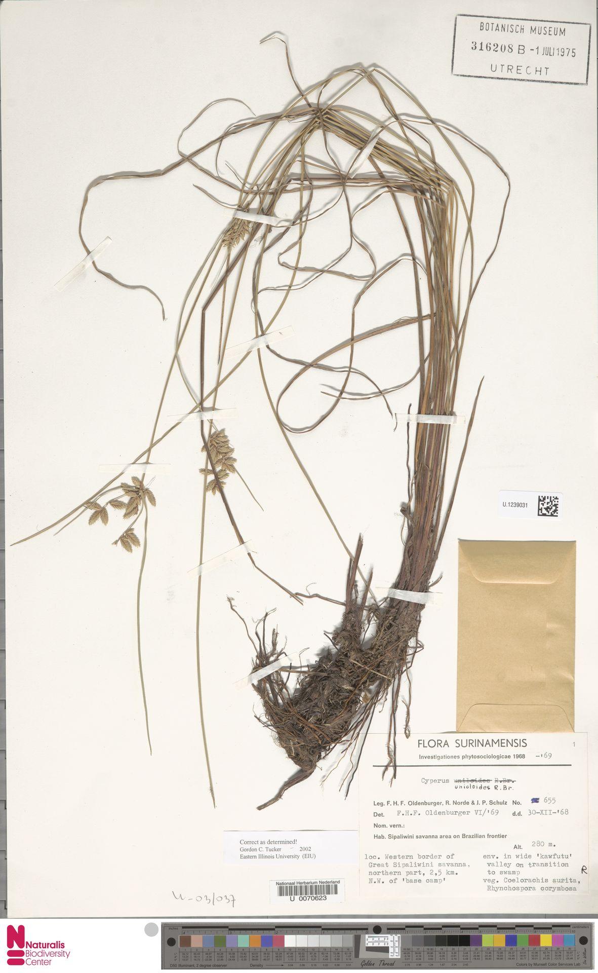 U.1239031 | Cyperus unioloides R.Br.