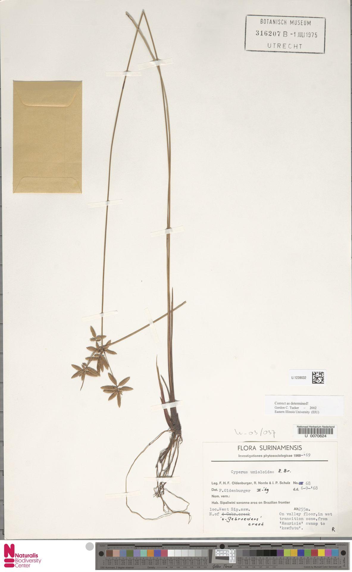 U.1239032 | Cyperus unioloides R.Br.