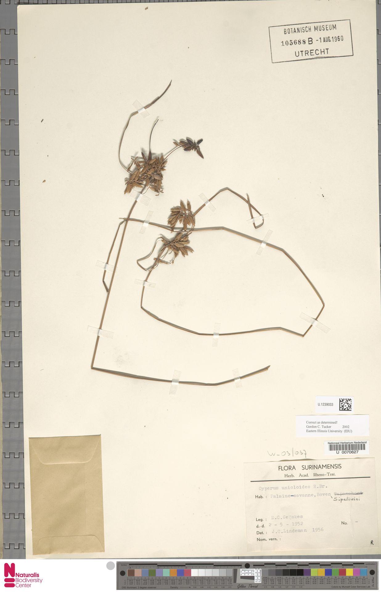U.1239033 | Cyperus unioloides R.Br.