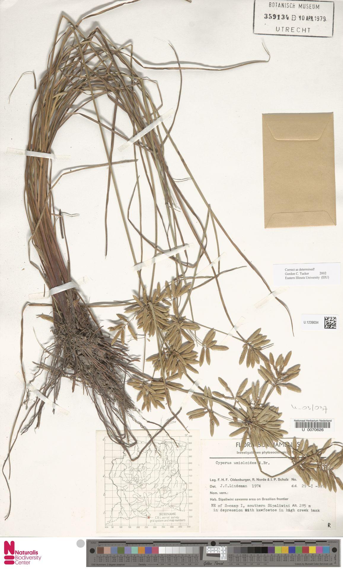U.1239034 | Cyperus unioloides R.Br.
