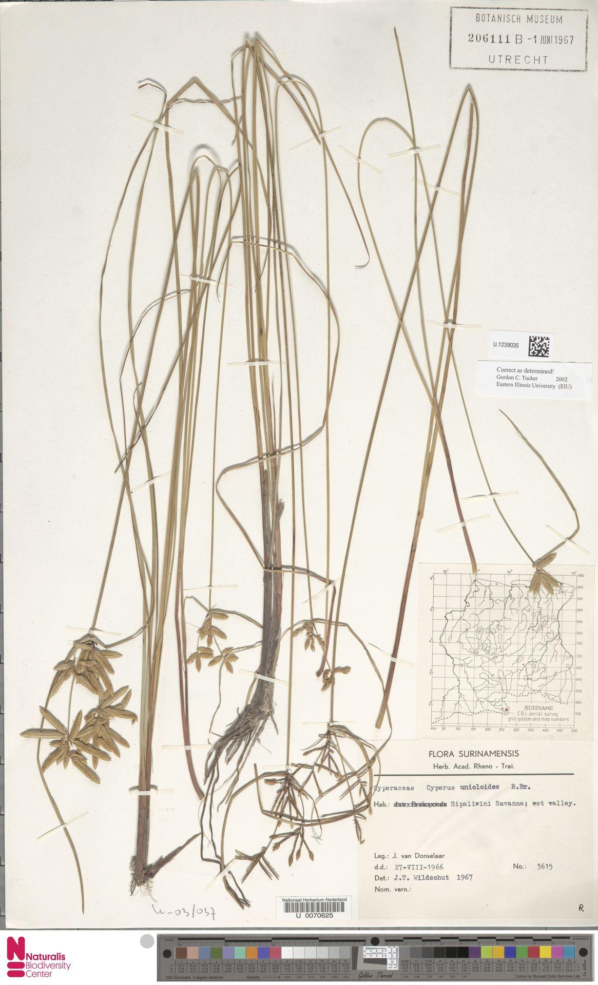 U.1239035 | Cyperus unioloides R.Br.