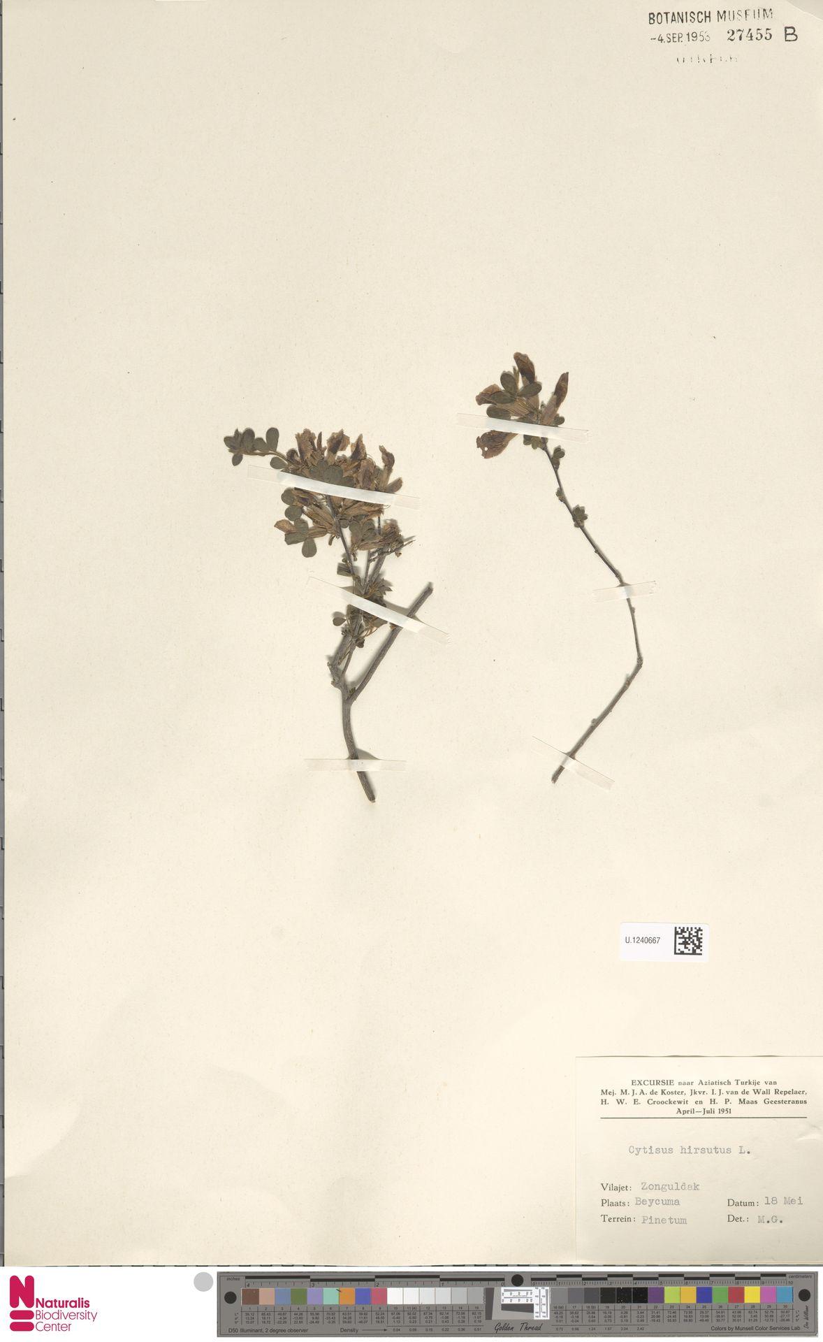 U.1240667 | Cytisus hirsutus L.