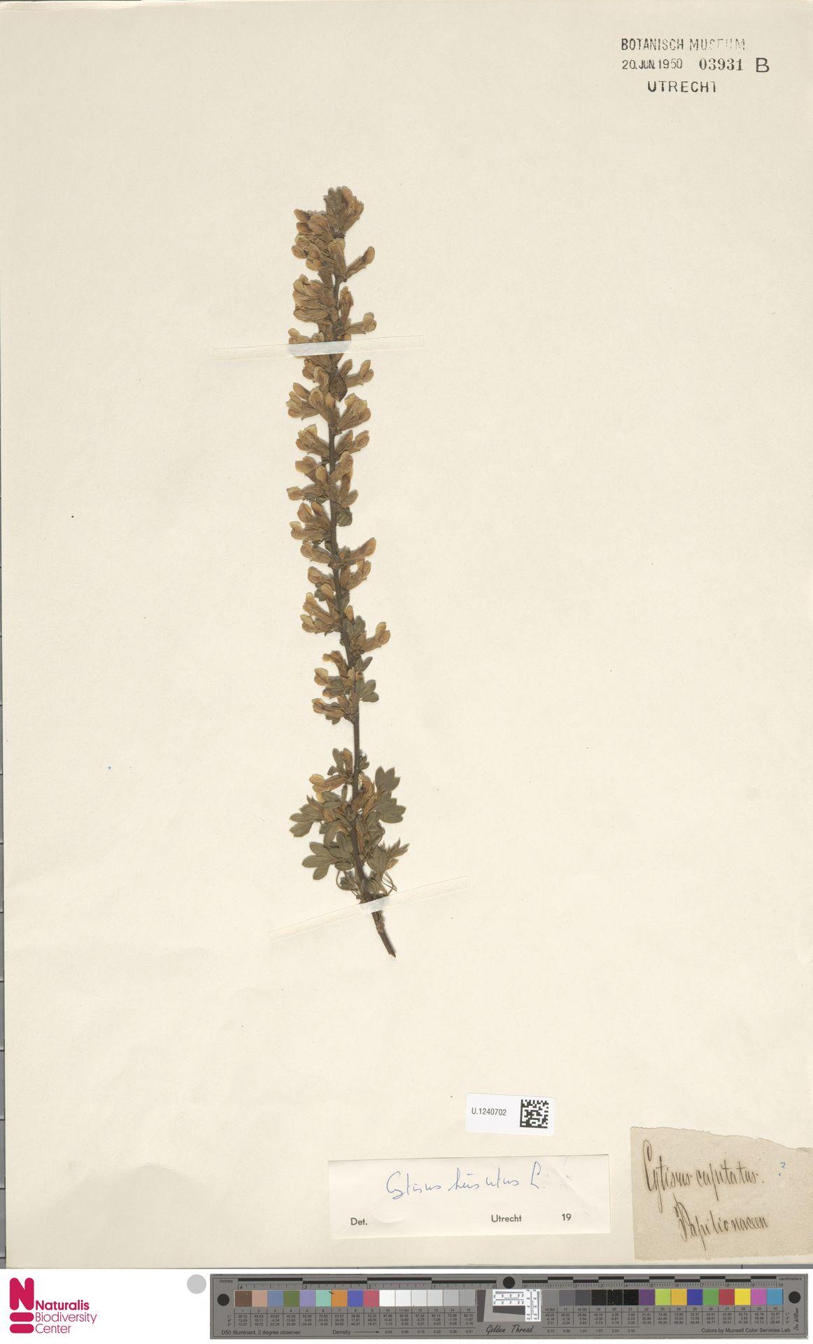 U.1240702   Cytisus hirsutus L.
