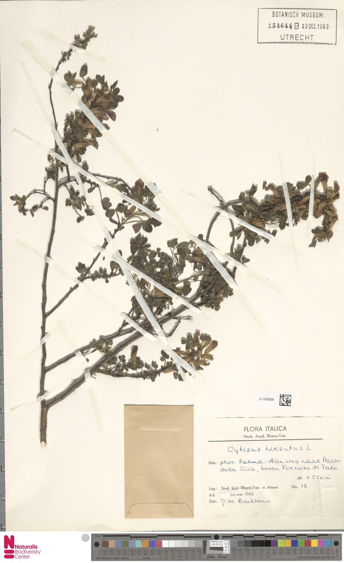 U.1240958 | Cytisus hirsutus L.