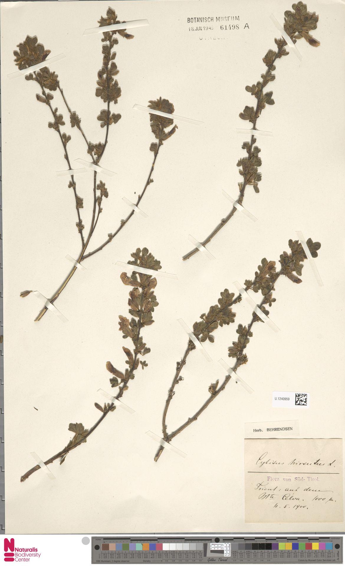 U.1240959 | Cytisus hirsutus L.