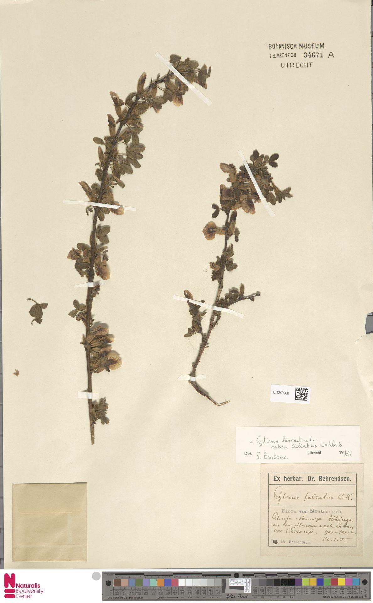 U.1240960 | Cytisus hirsutus L.