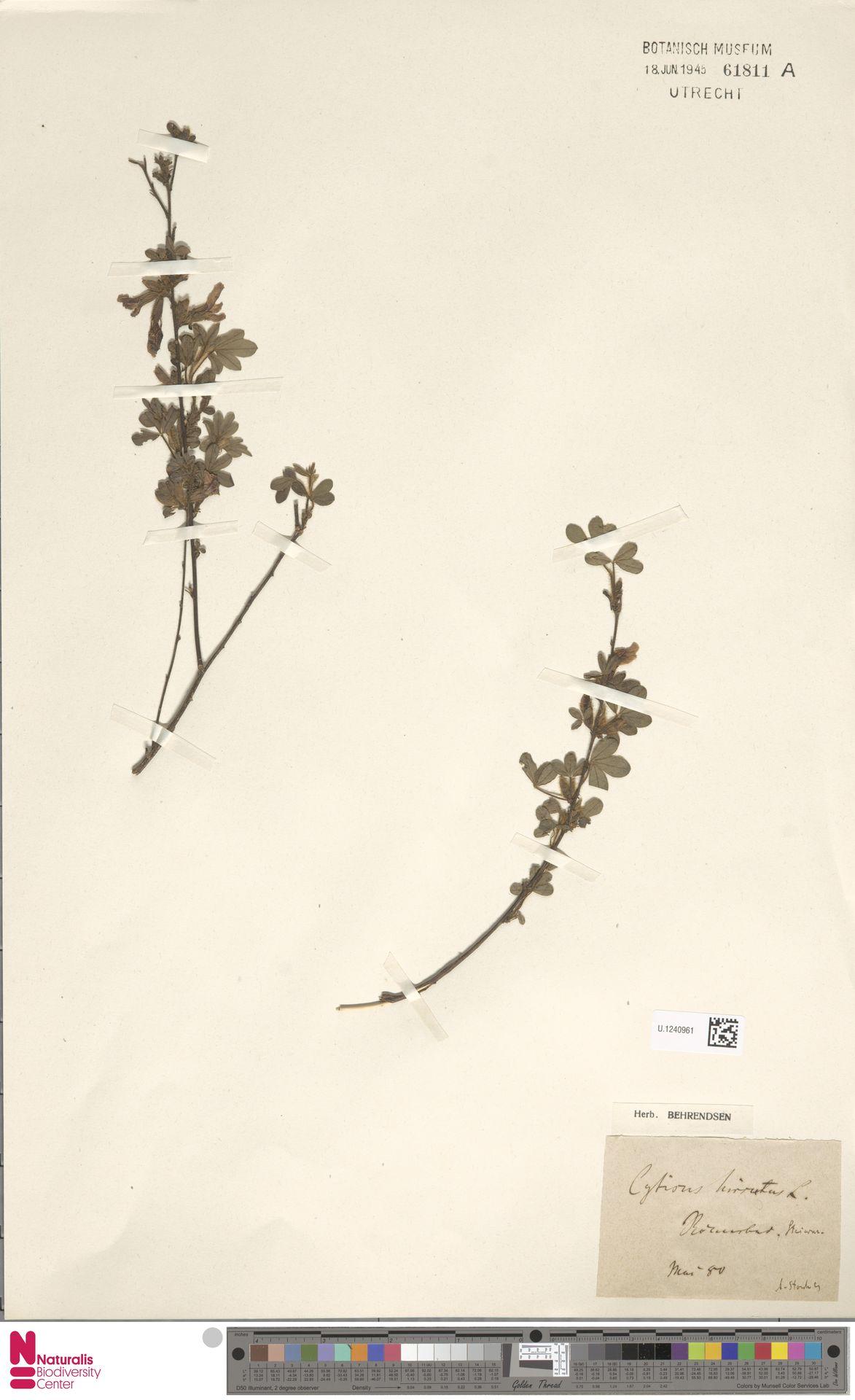 U.1240961 | Cytisus hirsutus L.