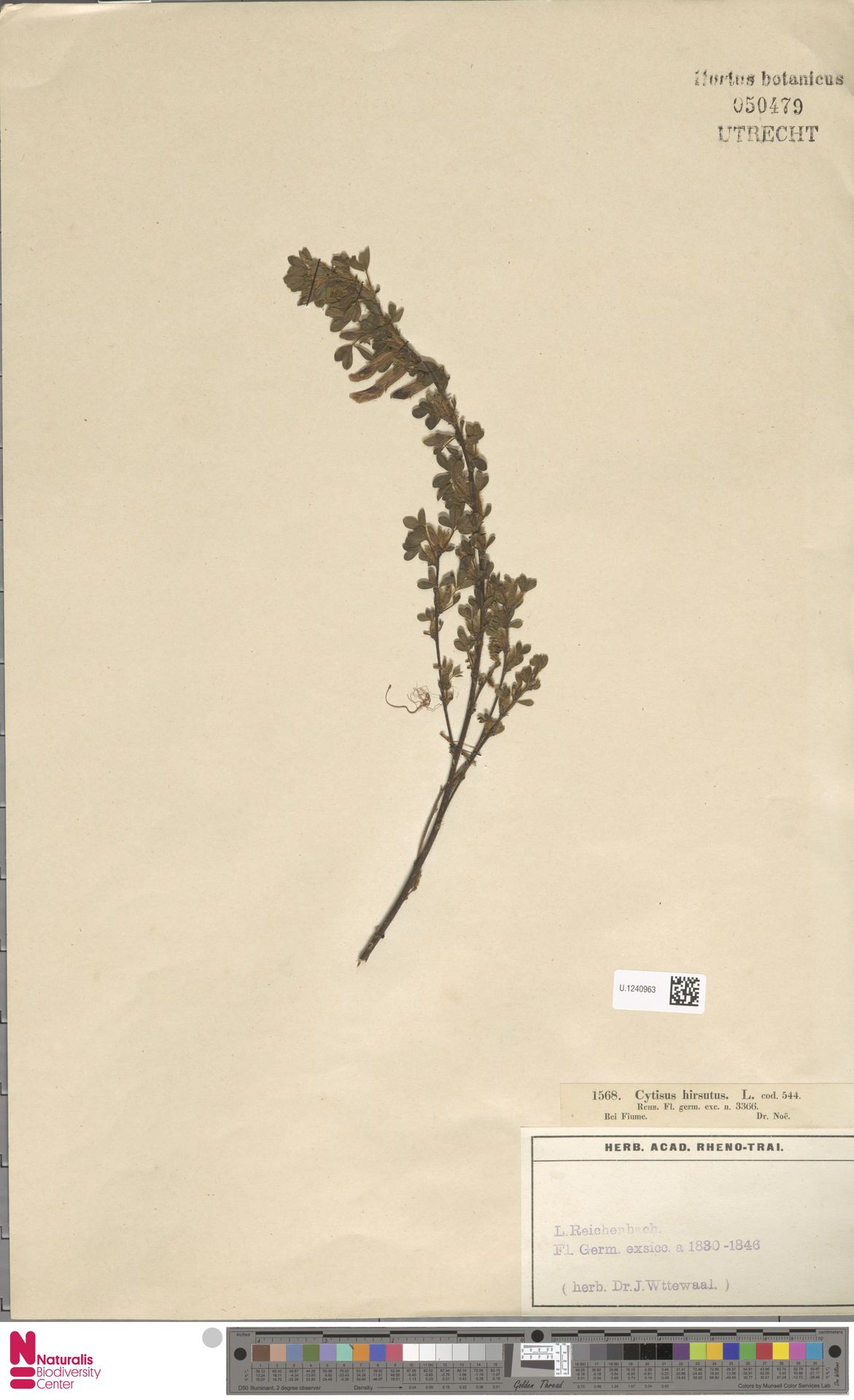 U.1240963   Cytisus hirsutus L.