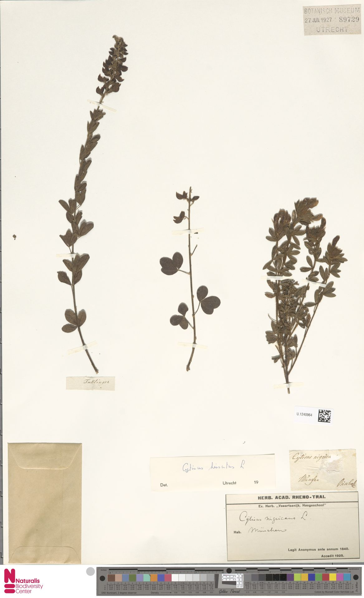 U.1240964 | Cytisus hirsutus L.