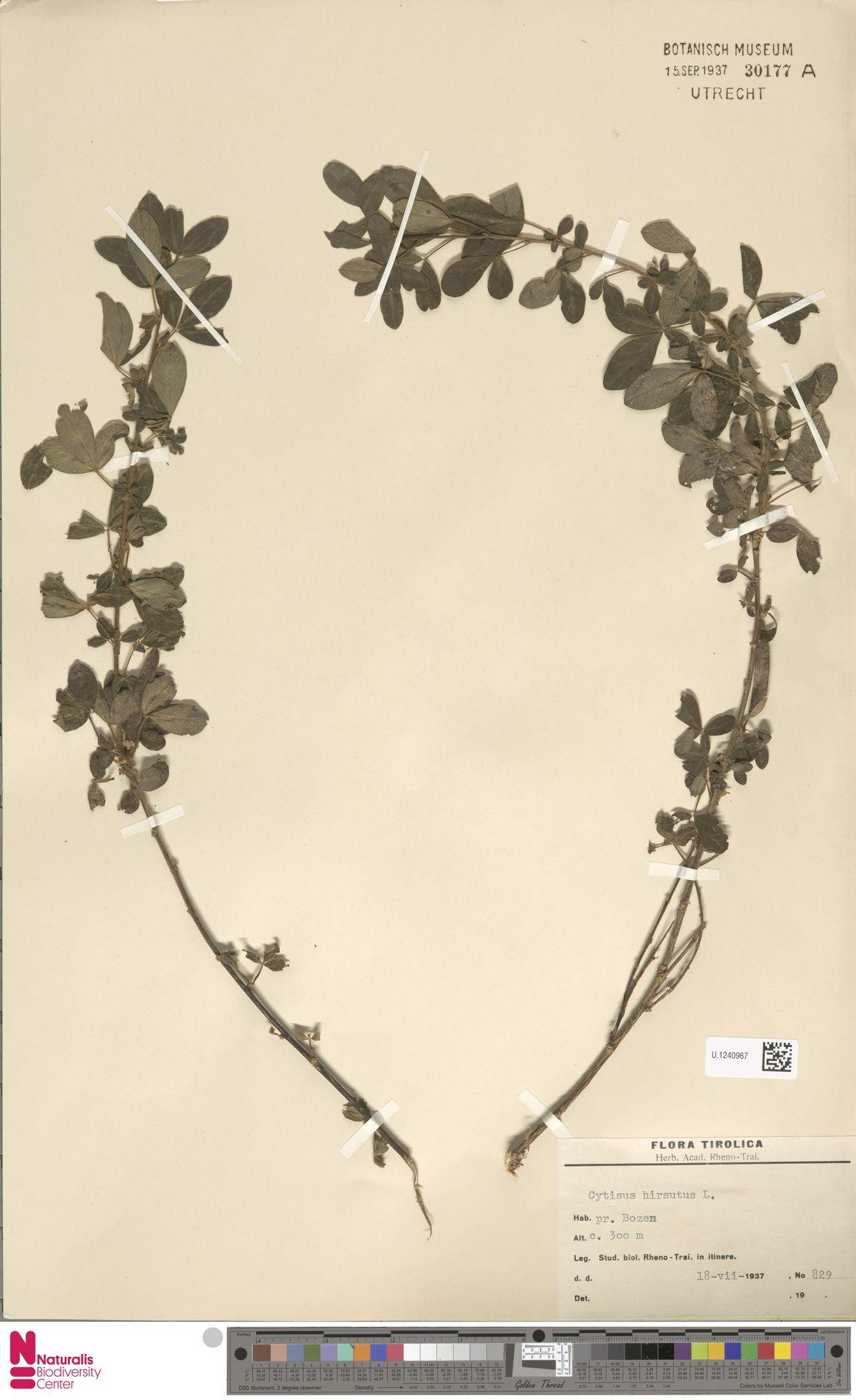 U.1240967 | Cytisus hirsutus L.