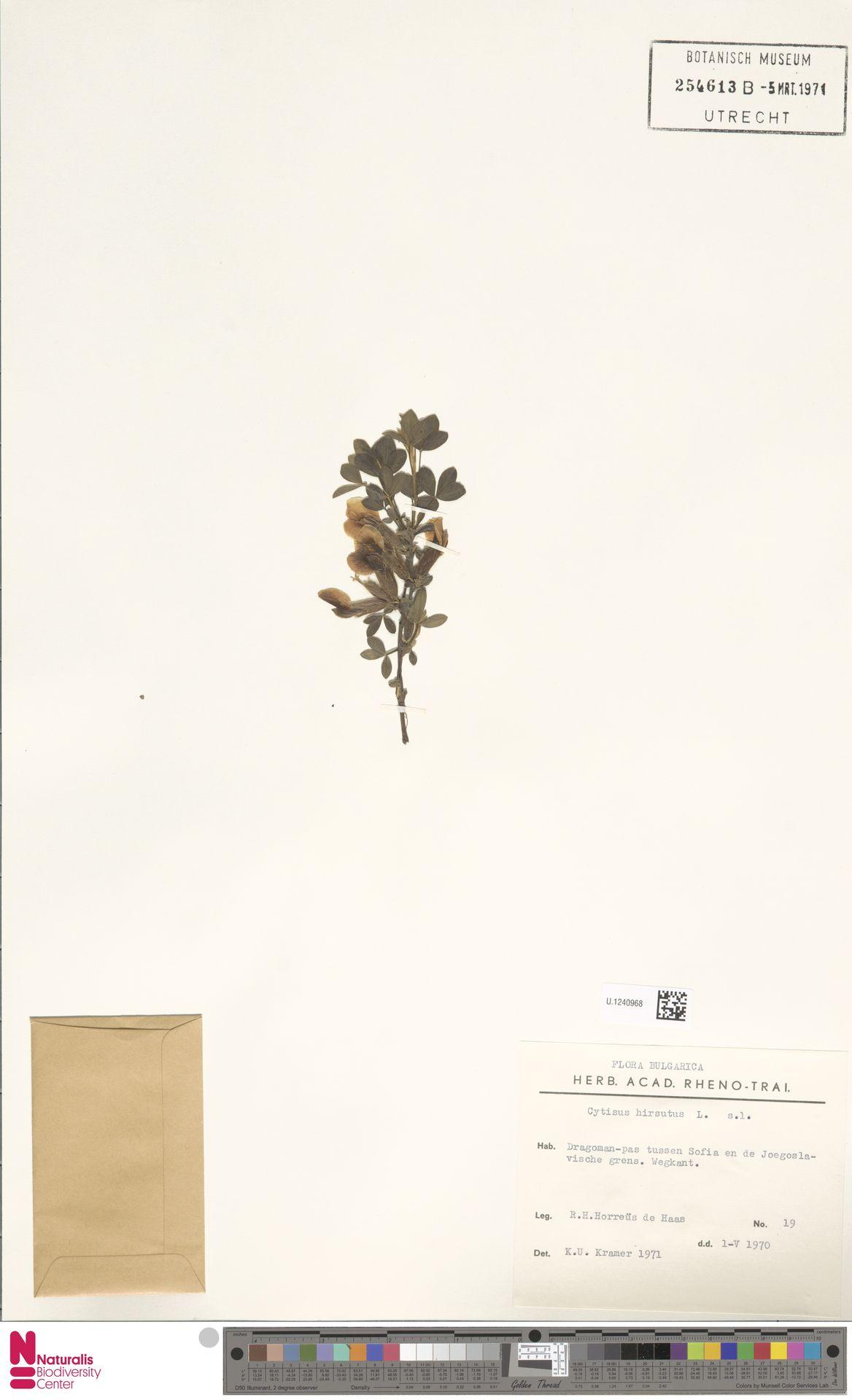U.1240968 | Cytisus hirsutus L.