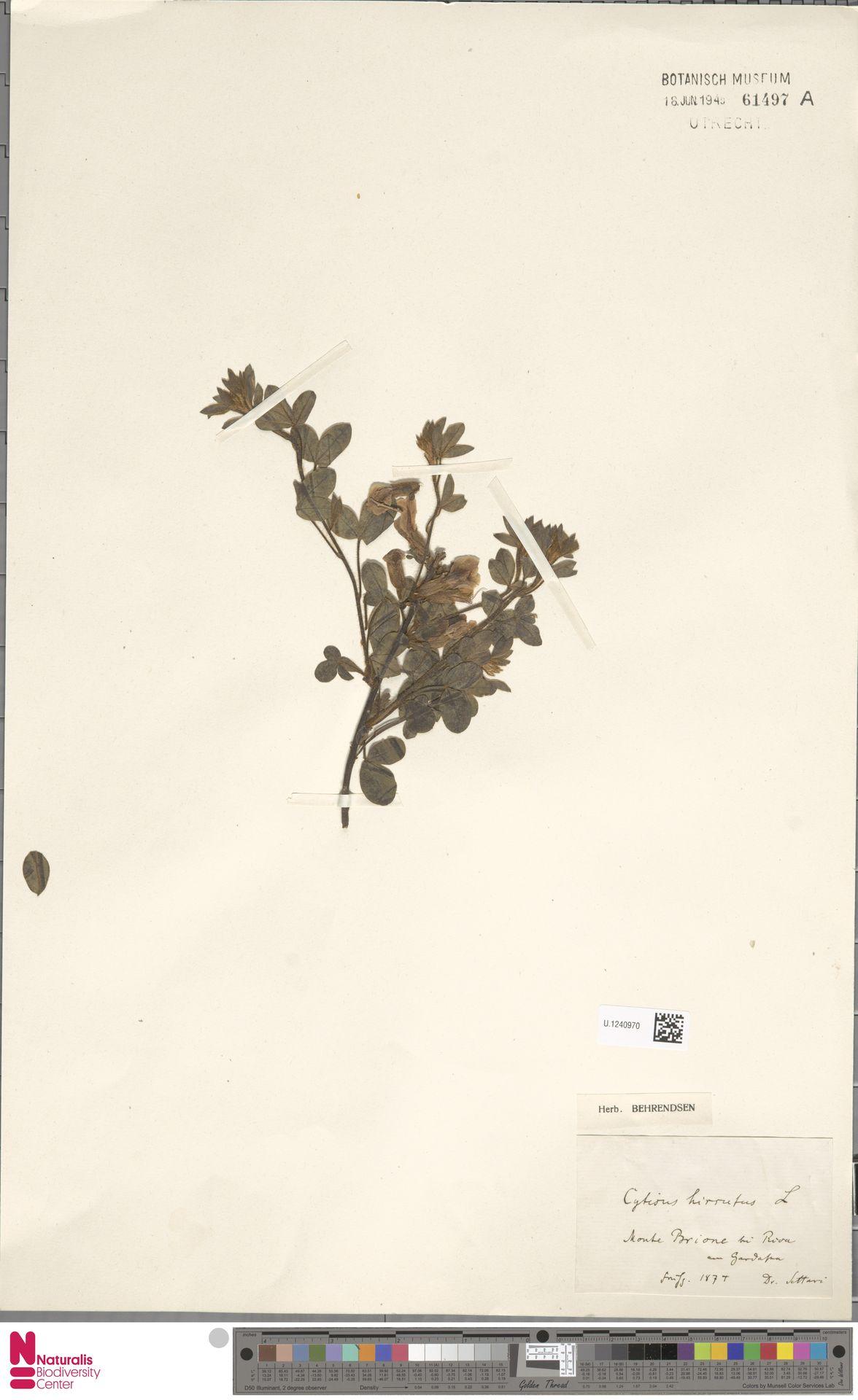 U.1240970 | Cytisus hirsutus L.