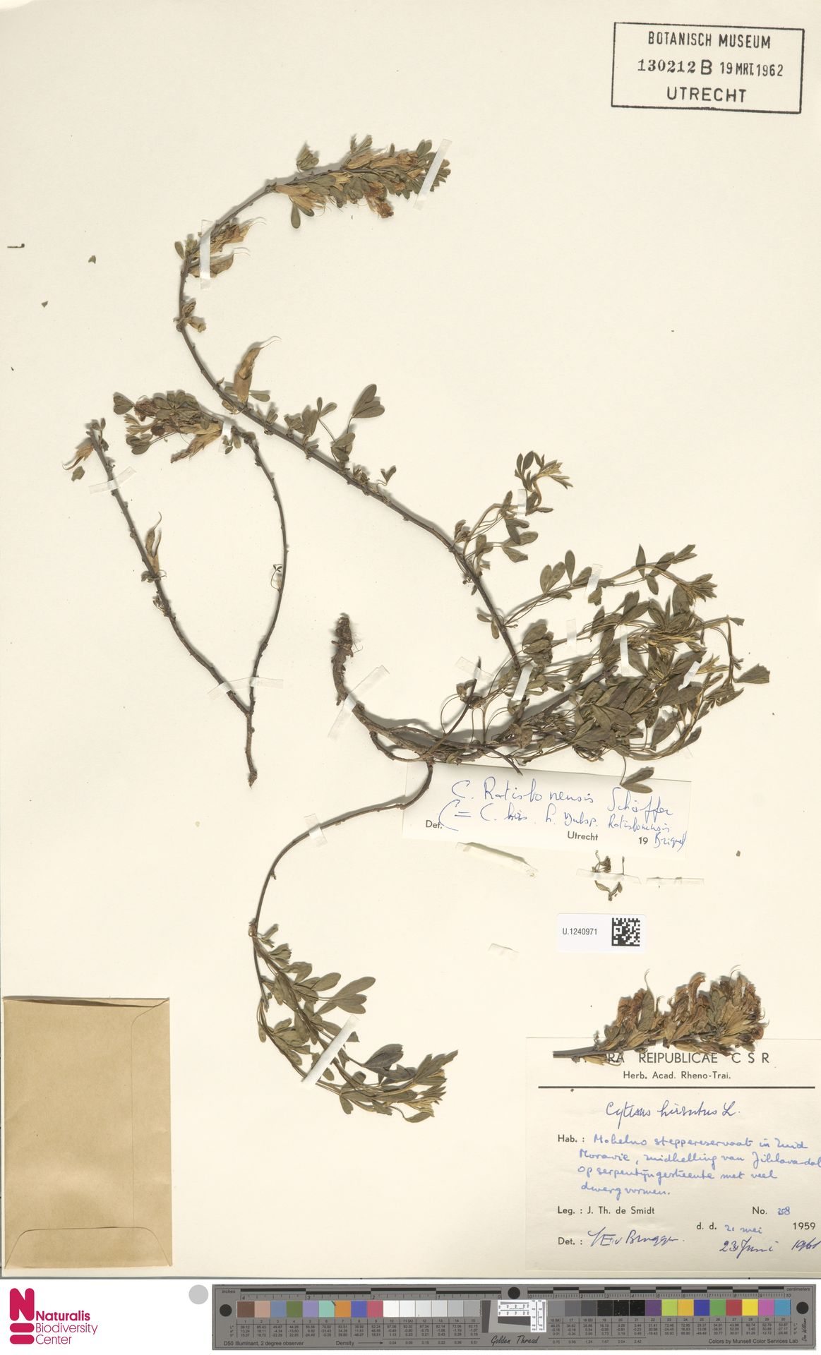 U.1240971   Cytisus hirsutus L.