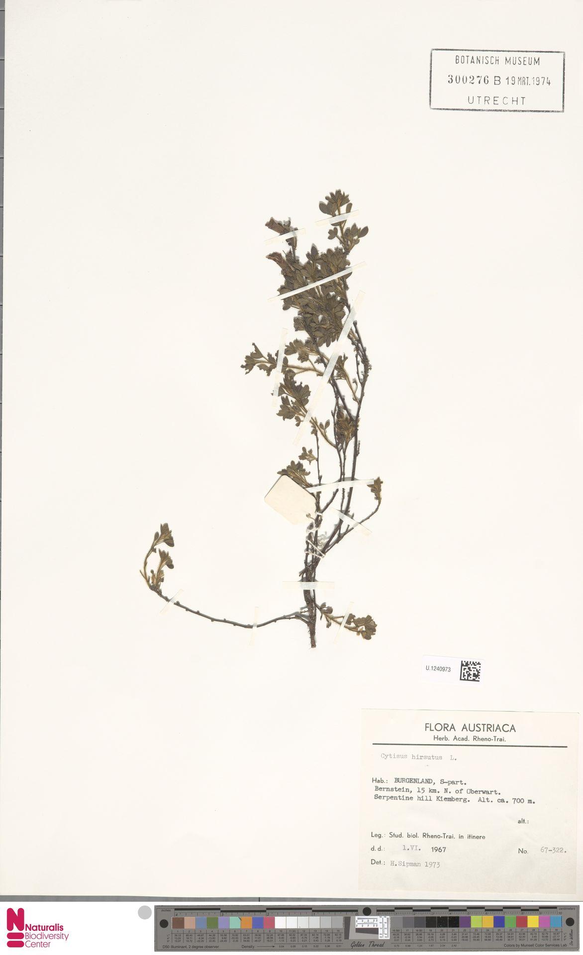U.1240973 | Cytisus hirsutus L.