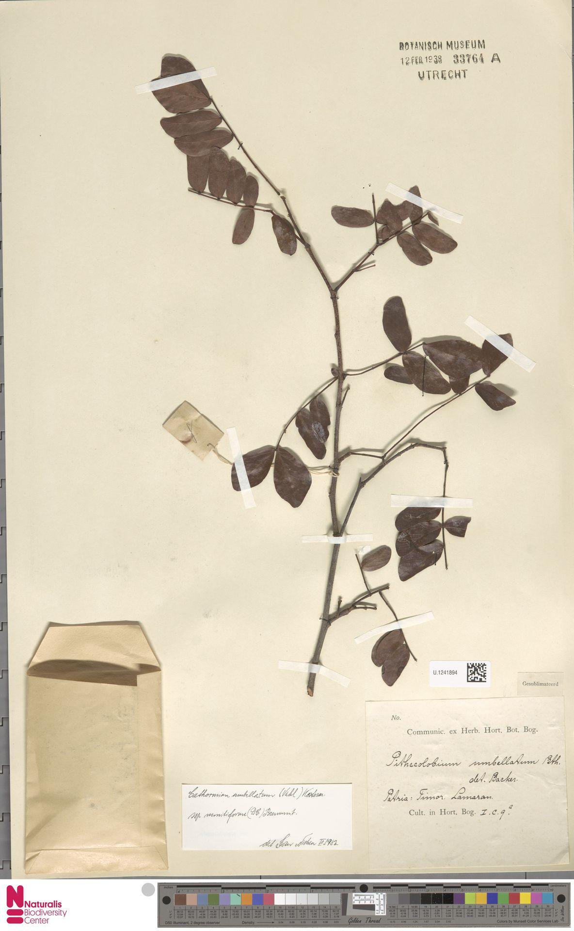 U.1241894 | Cathormion umbellatum subsp. moniliforme (DC.) Brummitt