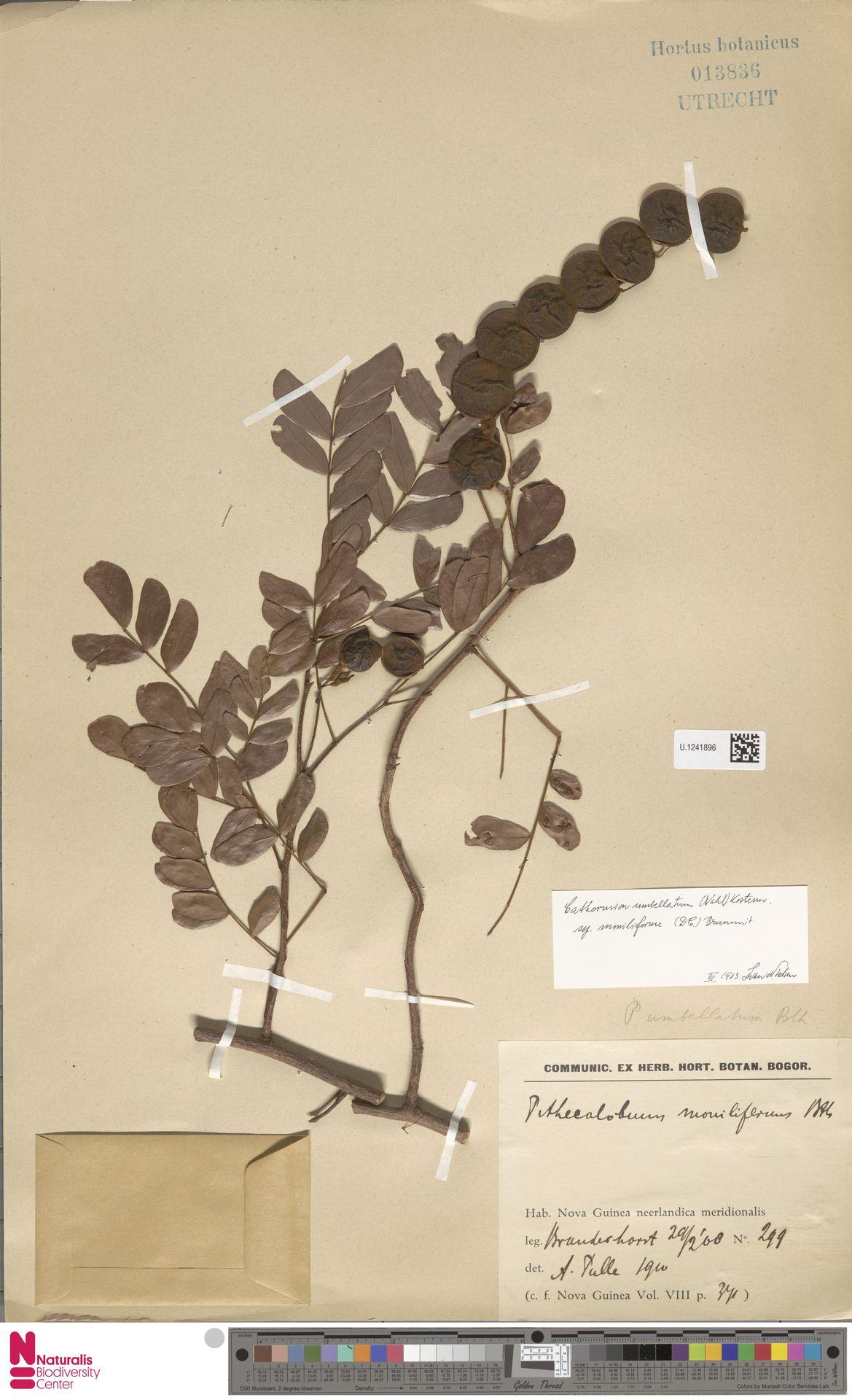 U.1241896 | Cathormion umbellatum subsp. moniliforme (DC.) Brummitt