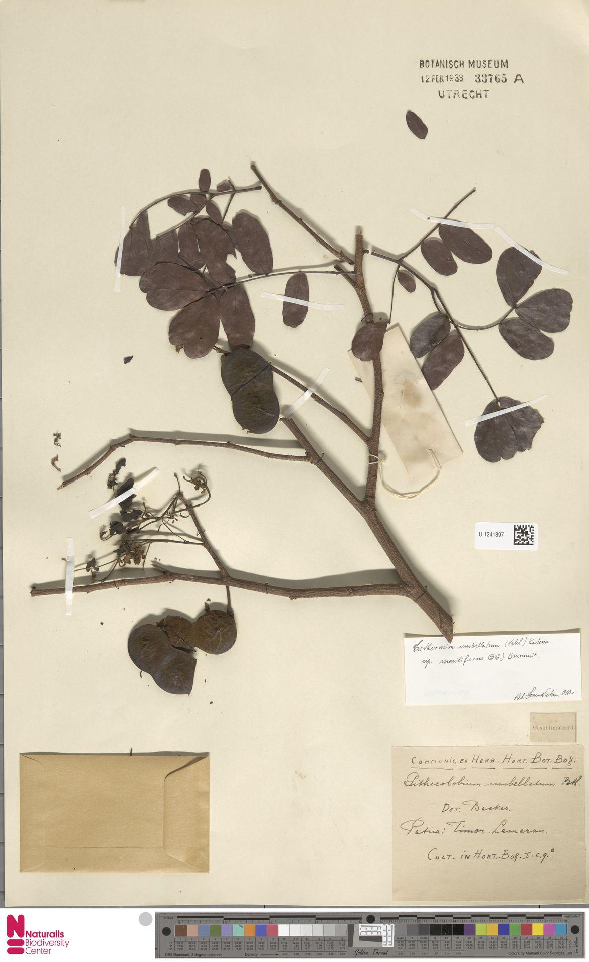 U.1241897 | Cathormion umbellatum subsp. moniliforme (DC.) Brummitt