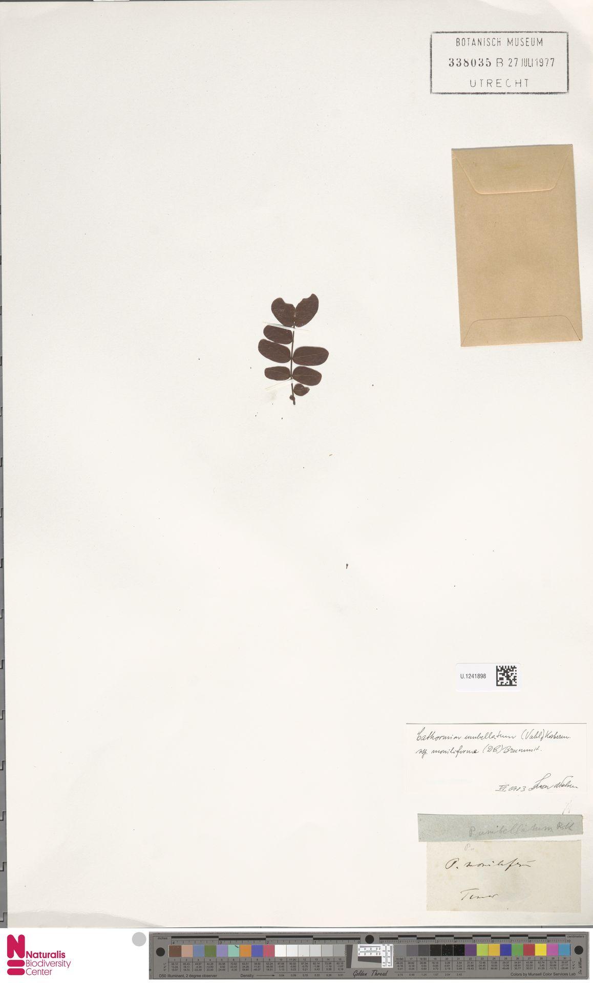U.1241898   Cathormion umbellatum subsp. moniliforme (DC.) Brummitt