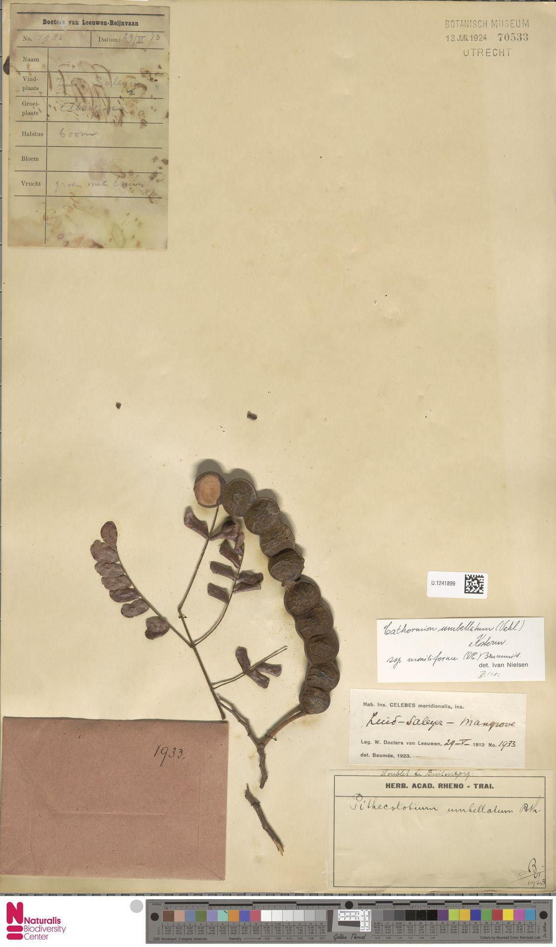 U.1241899 | Cathormion umbellatum subsp. moniliforme (DC.) Brummitt