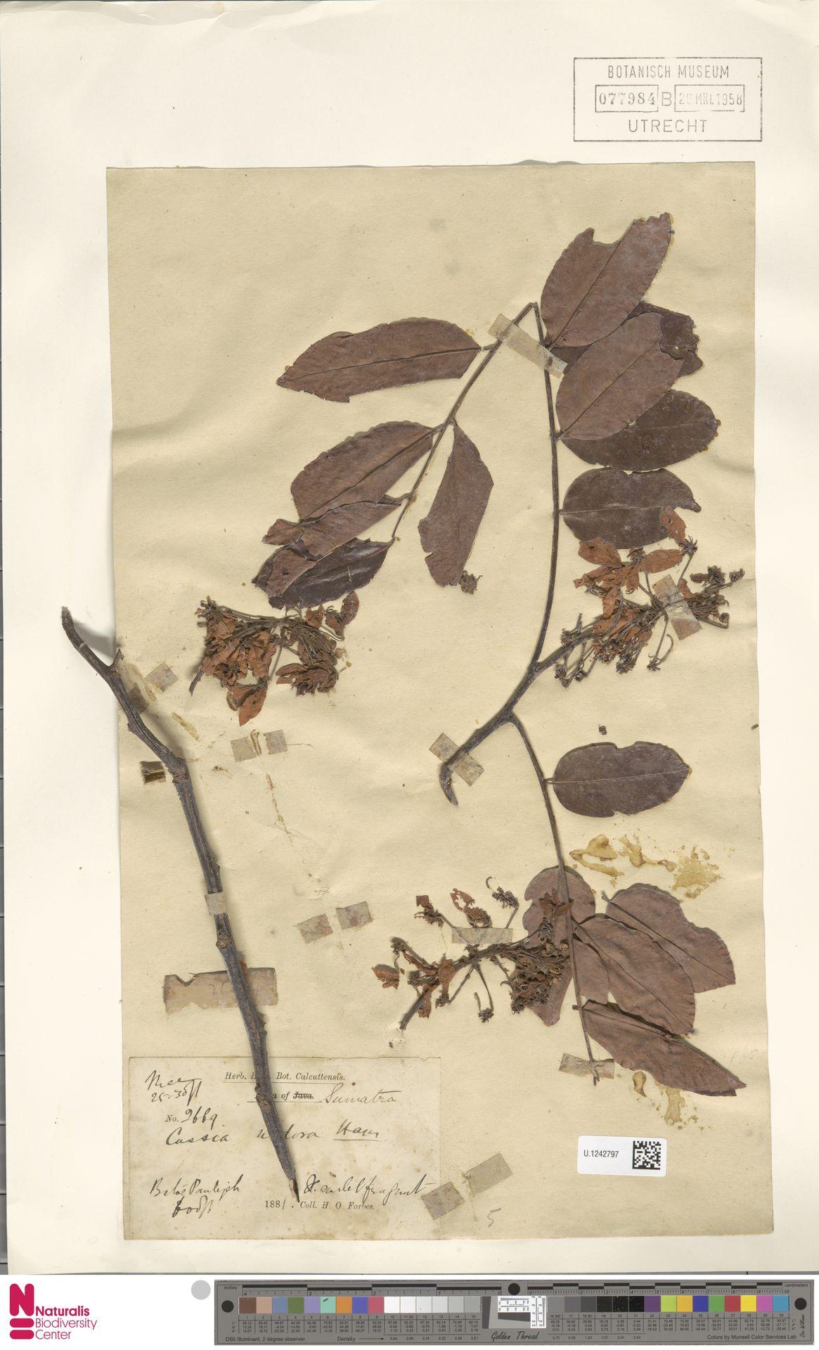 U.1242797 | Cassia undulata Benth.