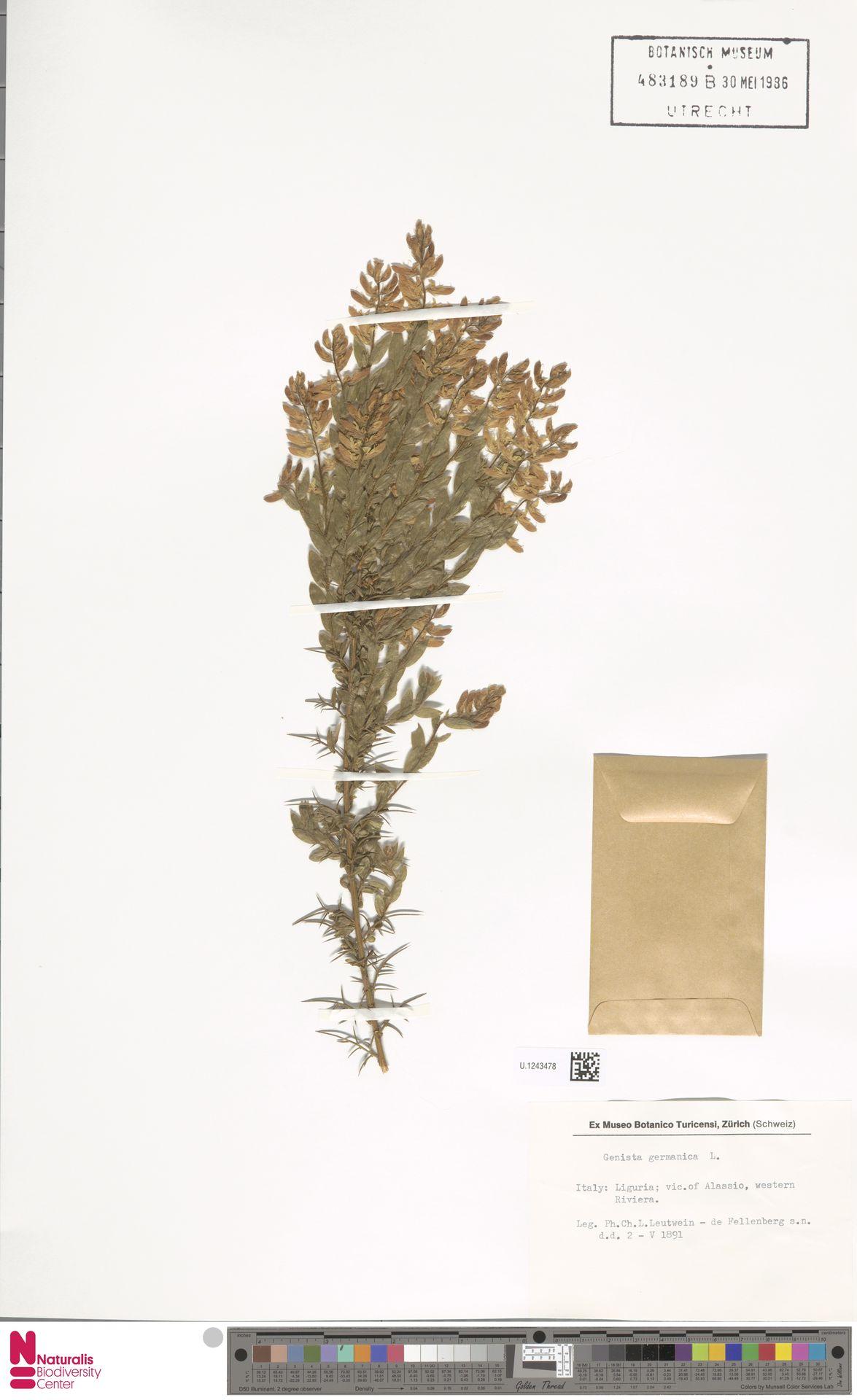 U.1243478 | Genista germanica L.