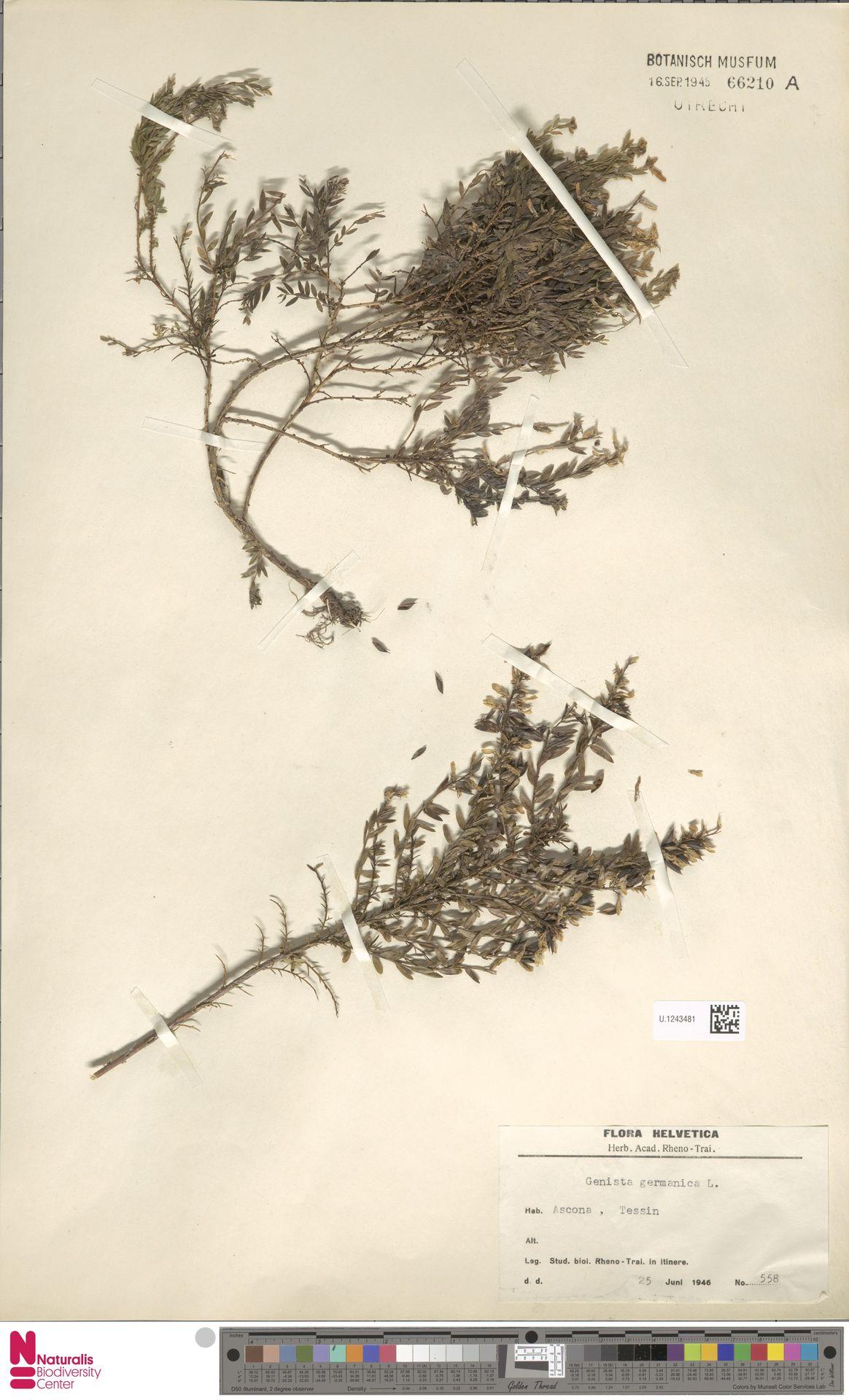 U.1243481 | Genista germanica L.