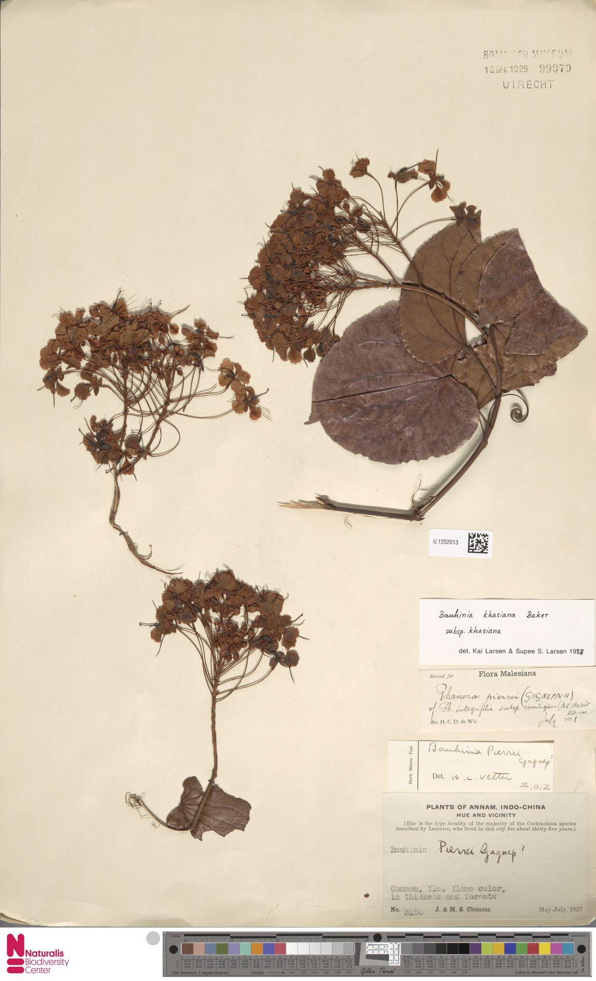 U.1252013 | Bauhinia khasiana subsp. khasiana