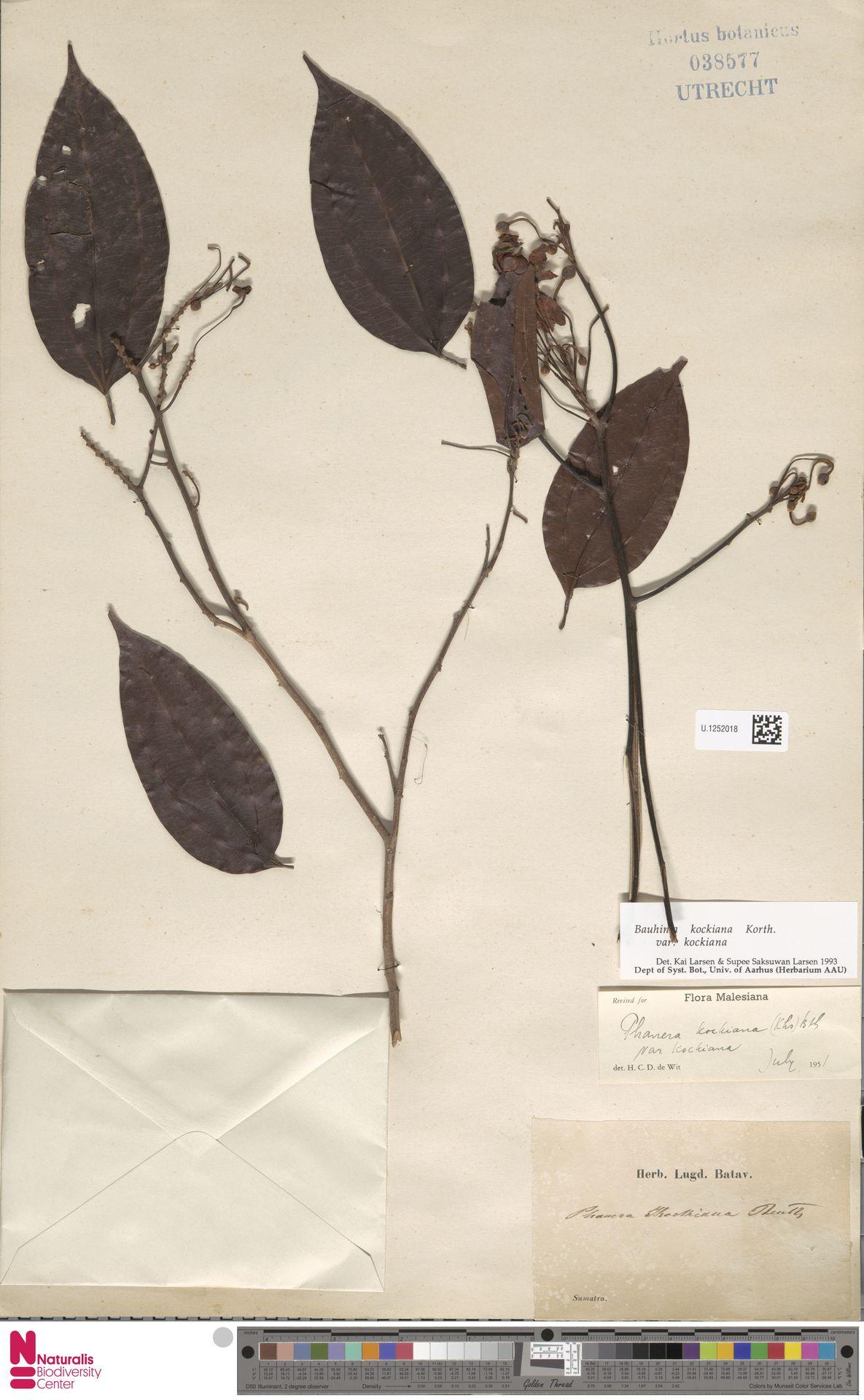 U.1252018 | Bauhinia kockiana var. kockiana
