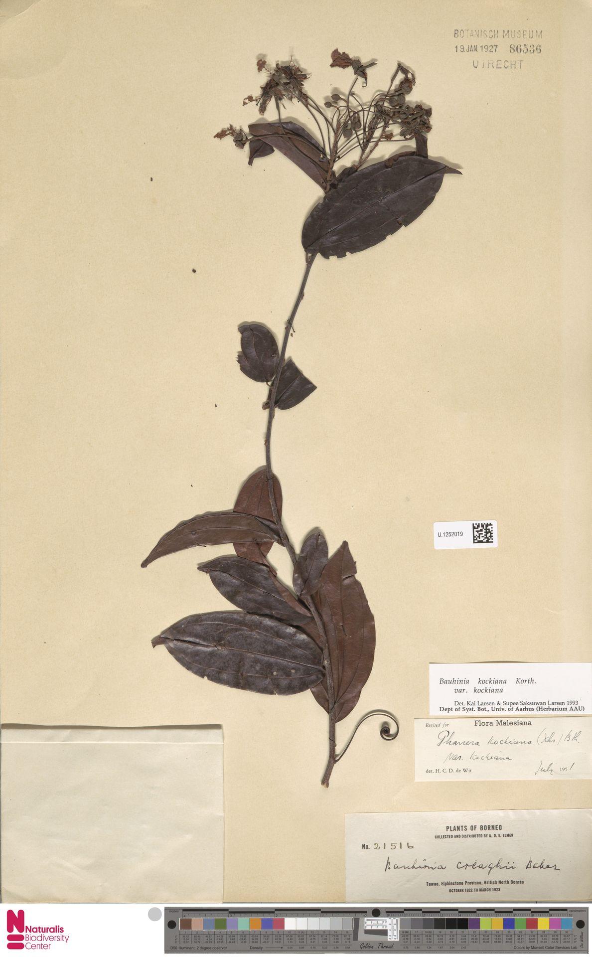 U.1252019 | Bauhinia kockiana var. kockiana