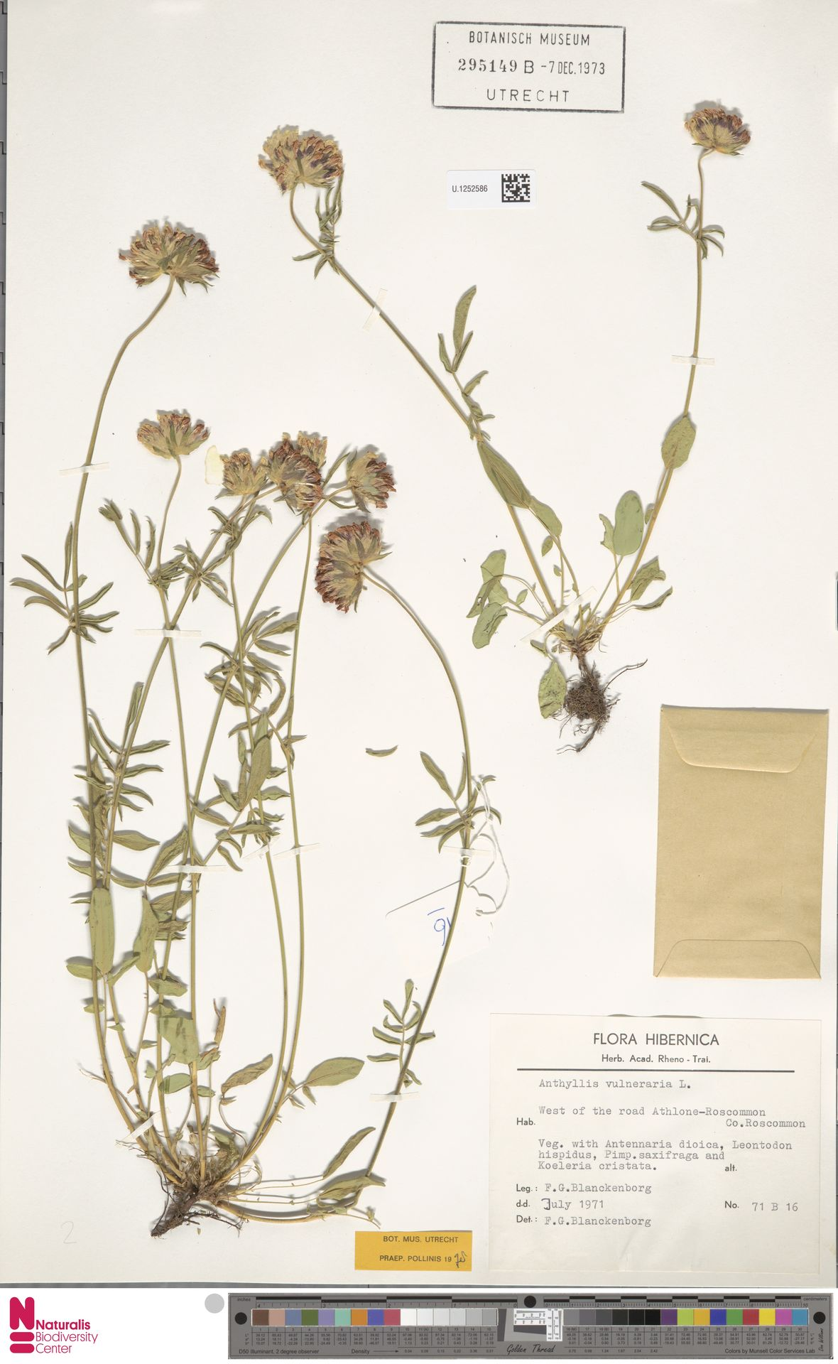 U.1252586   Anthyllis vulneraria L.