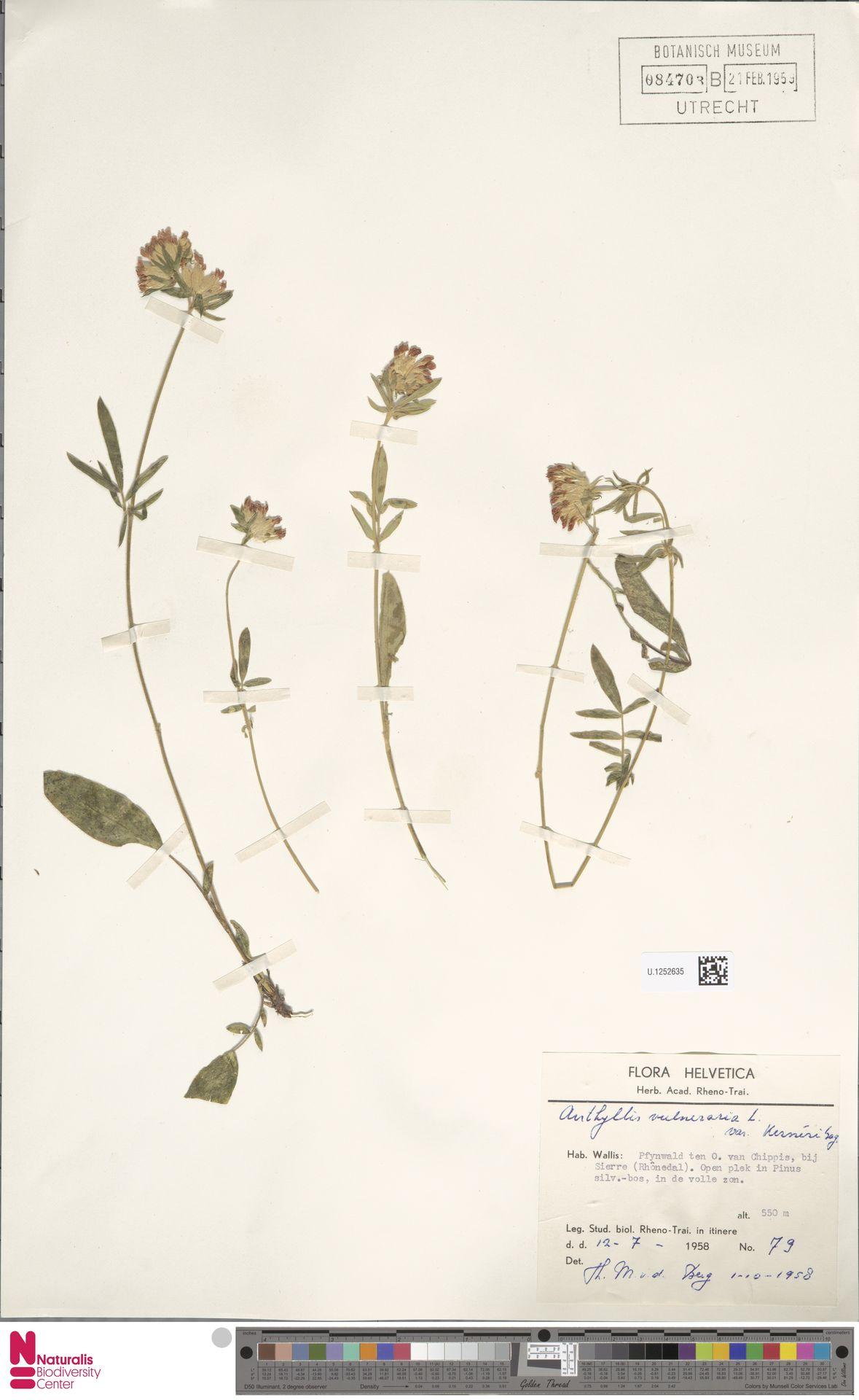 U.1252635   Anthyllis vulneraria L.