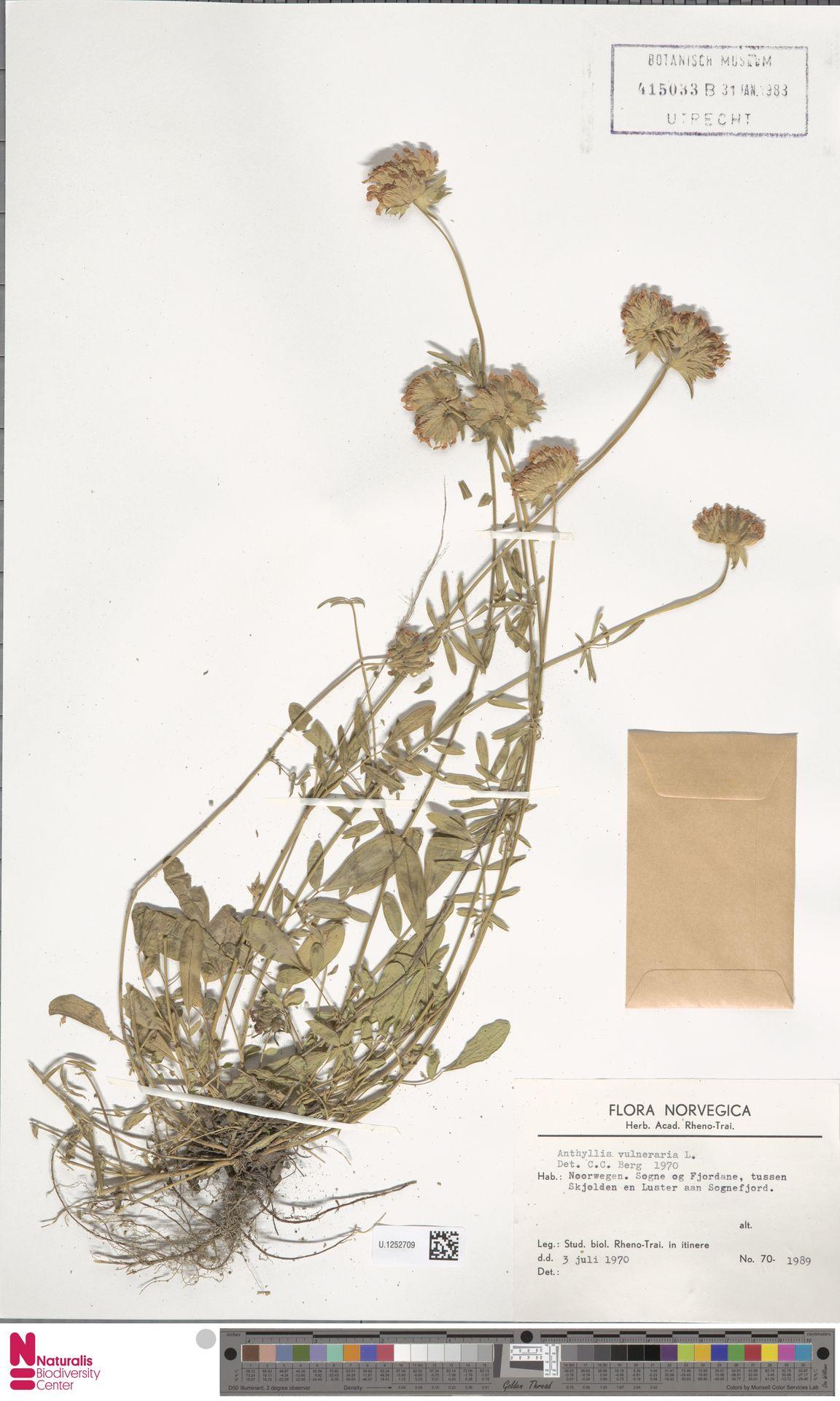 U.1252709   Anthyllis vulneraria L.