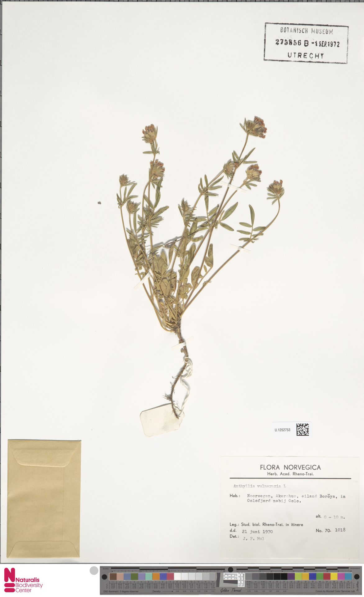 U.1252753 | Anthyllis vulneraria L.
