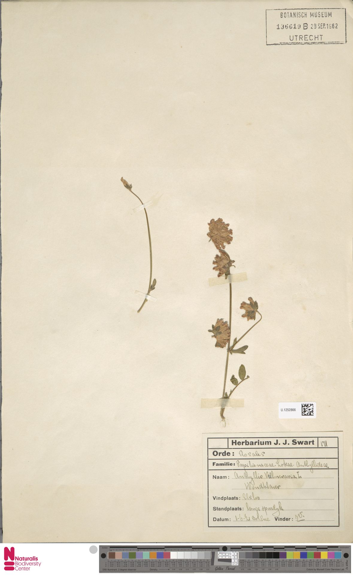 U.1252866 | Anthyllis vulneraria L.
