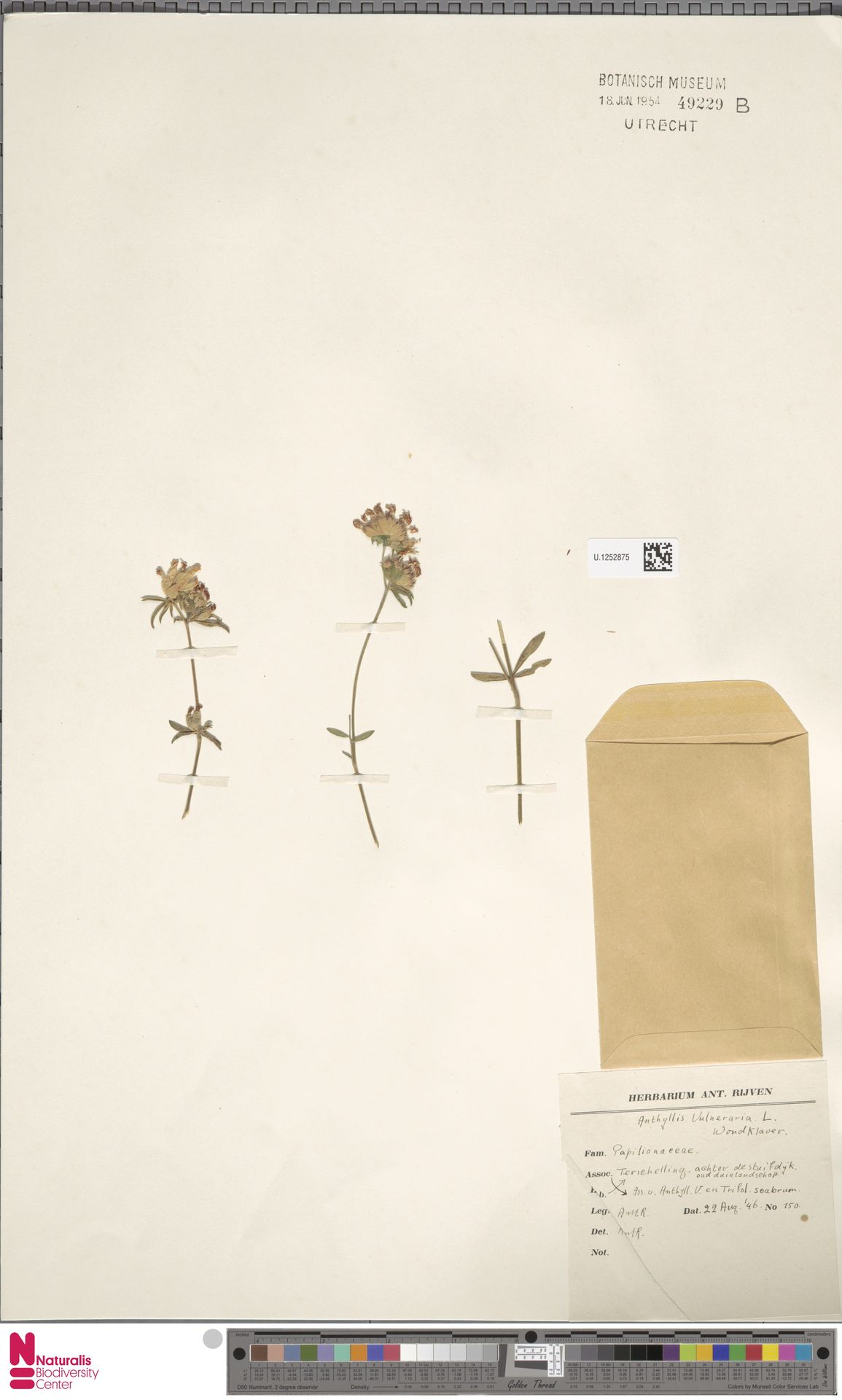 U.1252875   Anthyllis vulneraria L.
