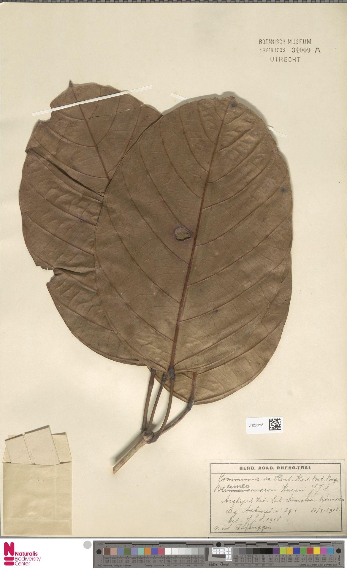 U.1255285 | Blumeodendron kurzii (Hook.f.) J.J.Sm.
