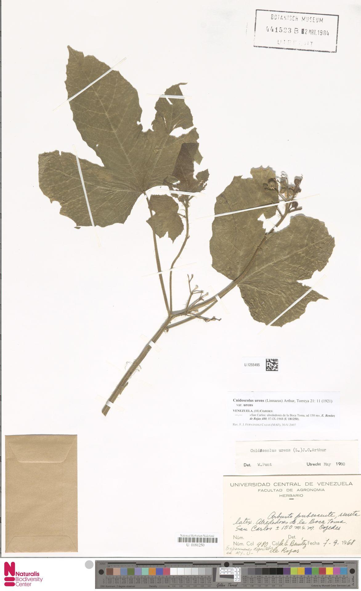 U.1255495 | Cnidoscolus urens var. urens