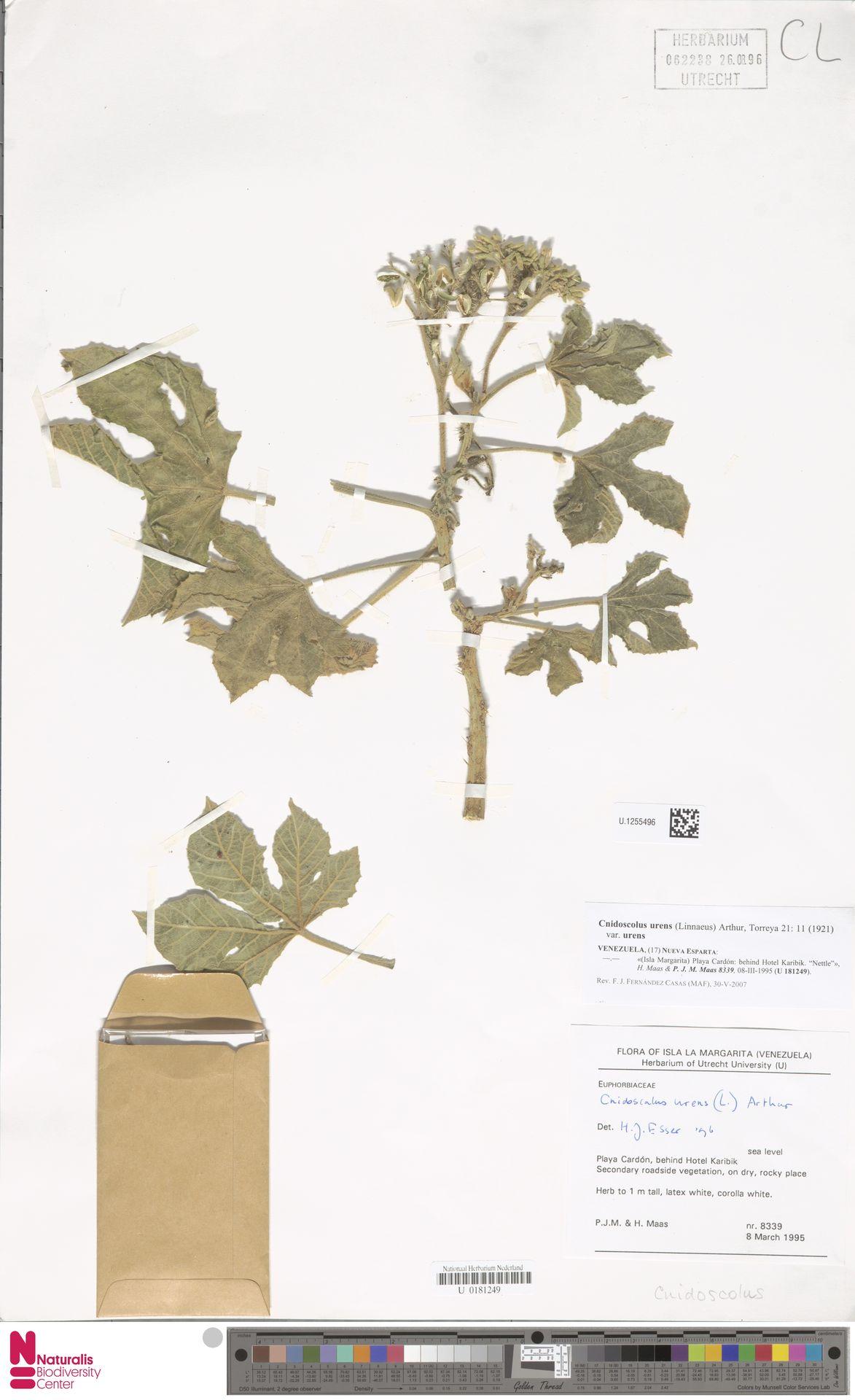U.1255496 | Cnidoscolus urens var. urens