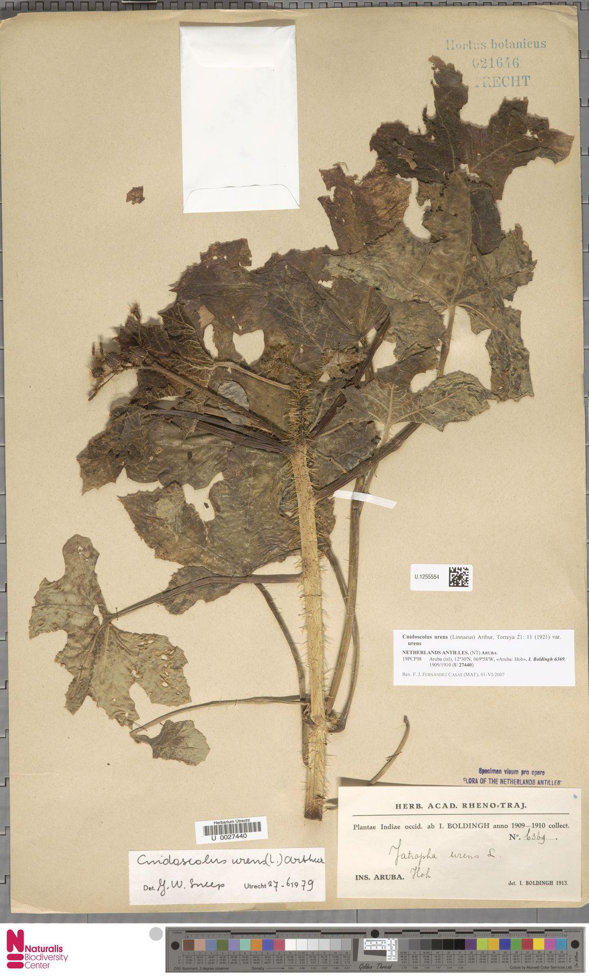 U.1255554 | Cnidoscolus urens var. urens