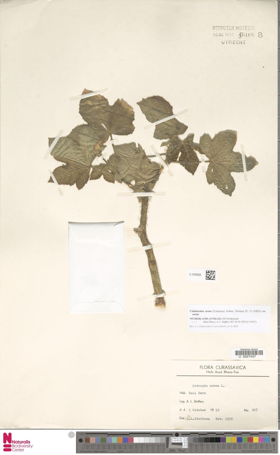 U.1255555 | Cnidoscolus urens var. urens