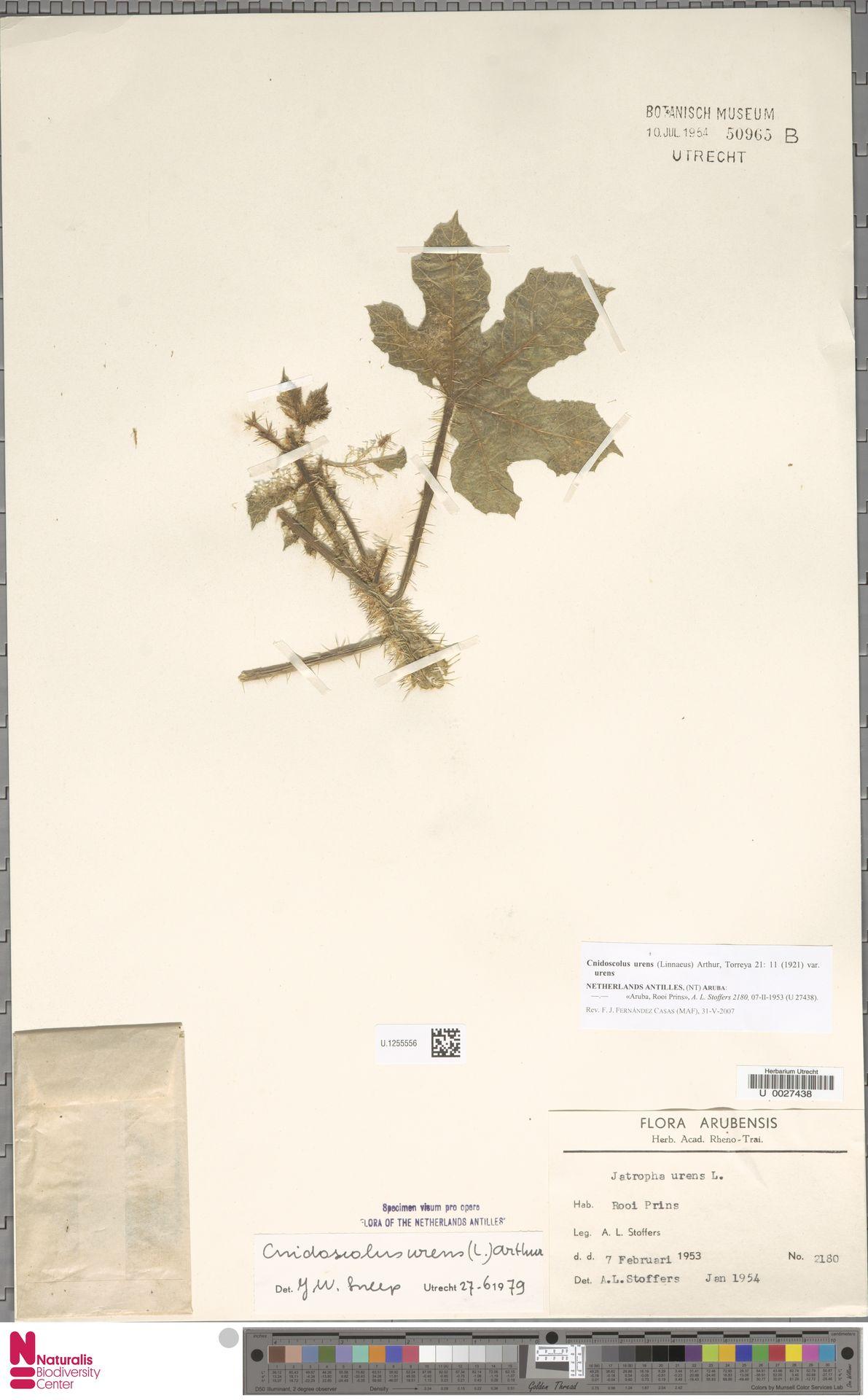 U.1255556 | Cnidoscolus urens var. urens
